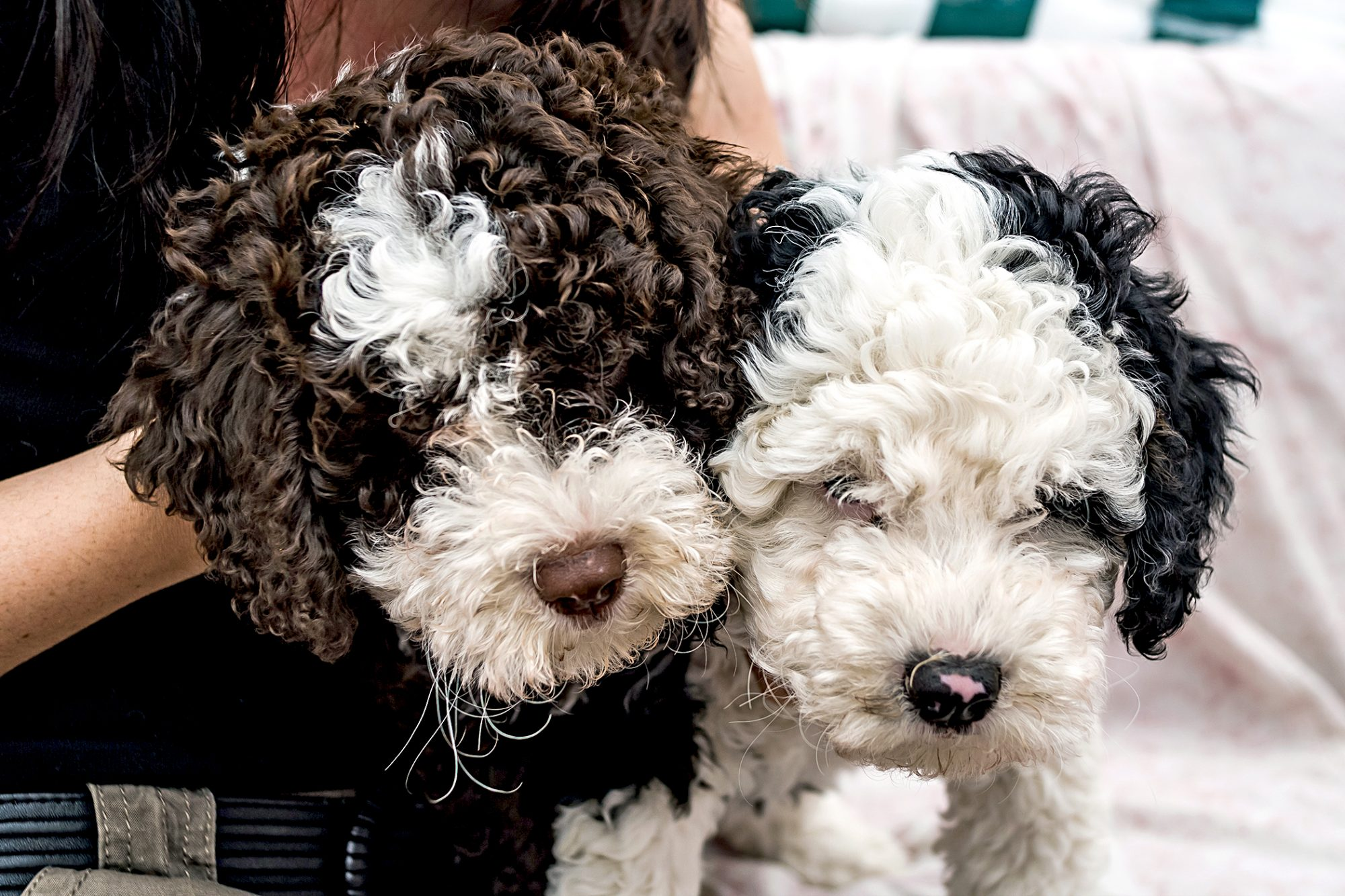 a black and white spanish water dog and a brown and white spanish water dog sitting with female owner