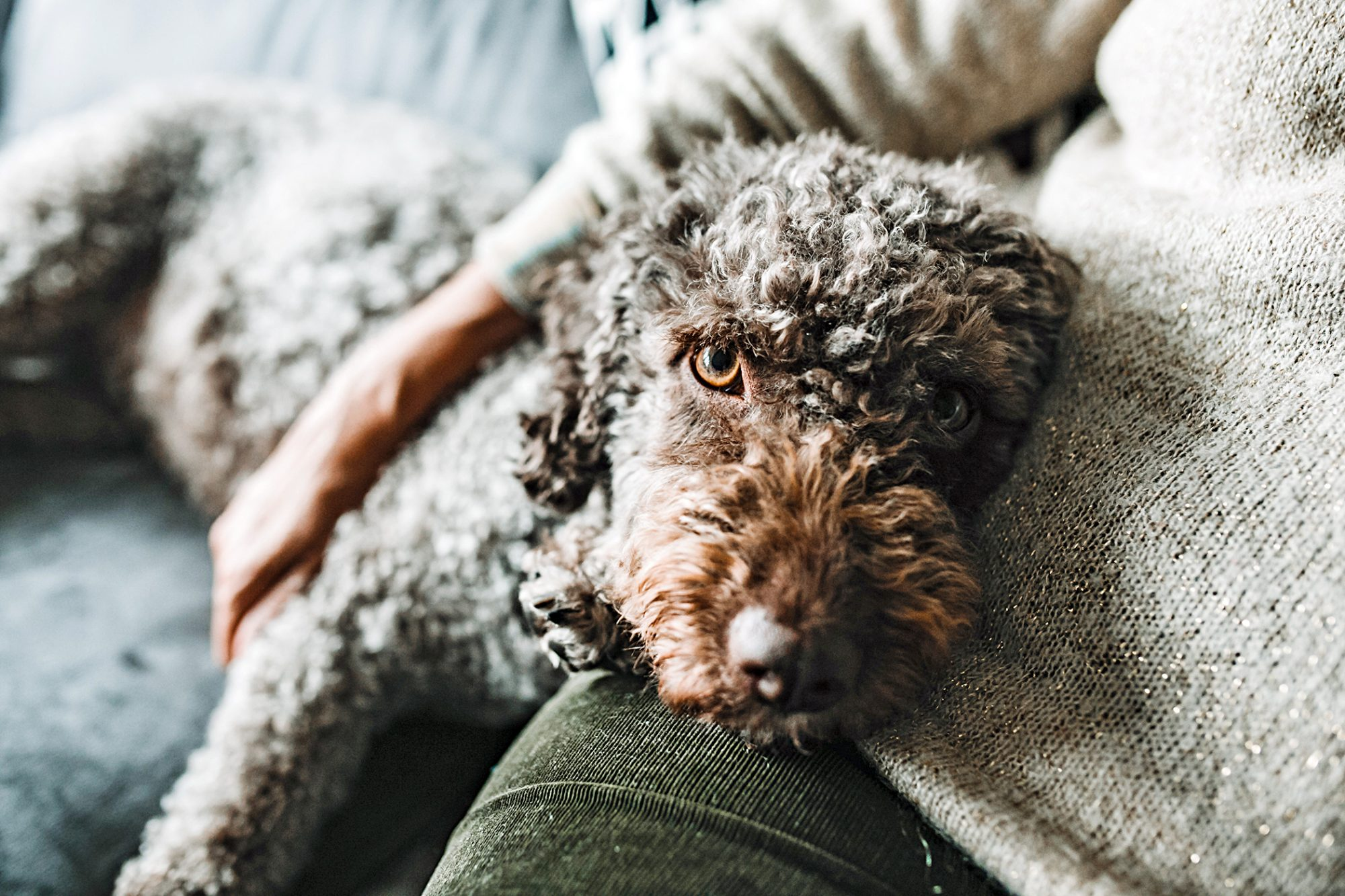 spanish water dog lying in owner's lap