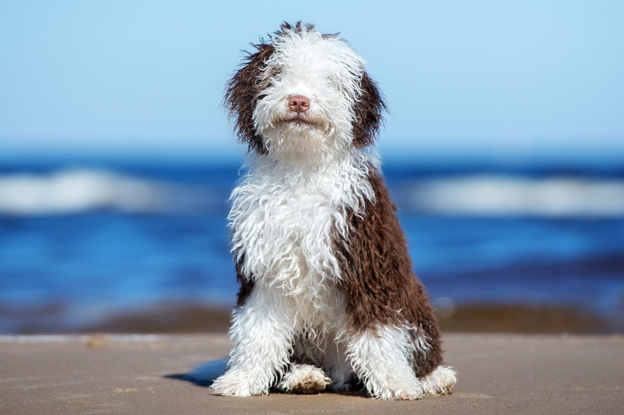 brown and white spanish water dog sitting on a beach
