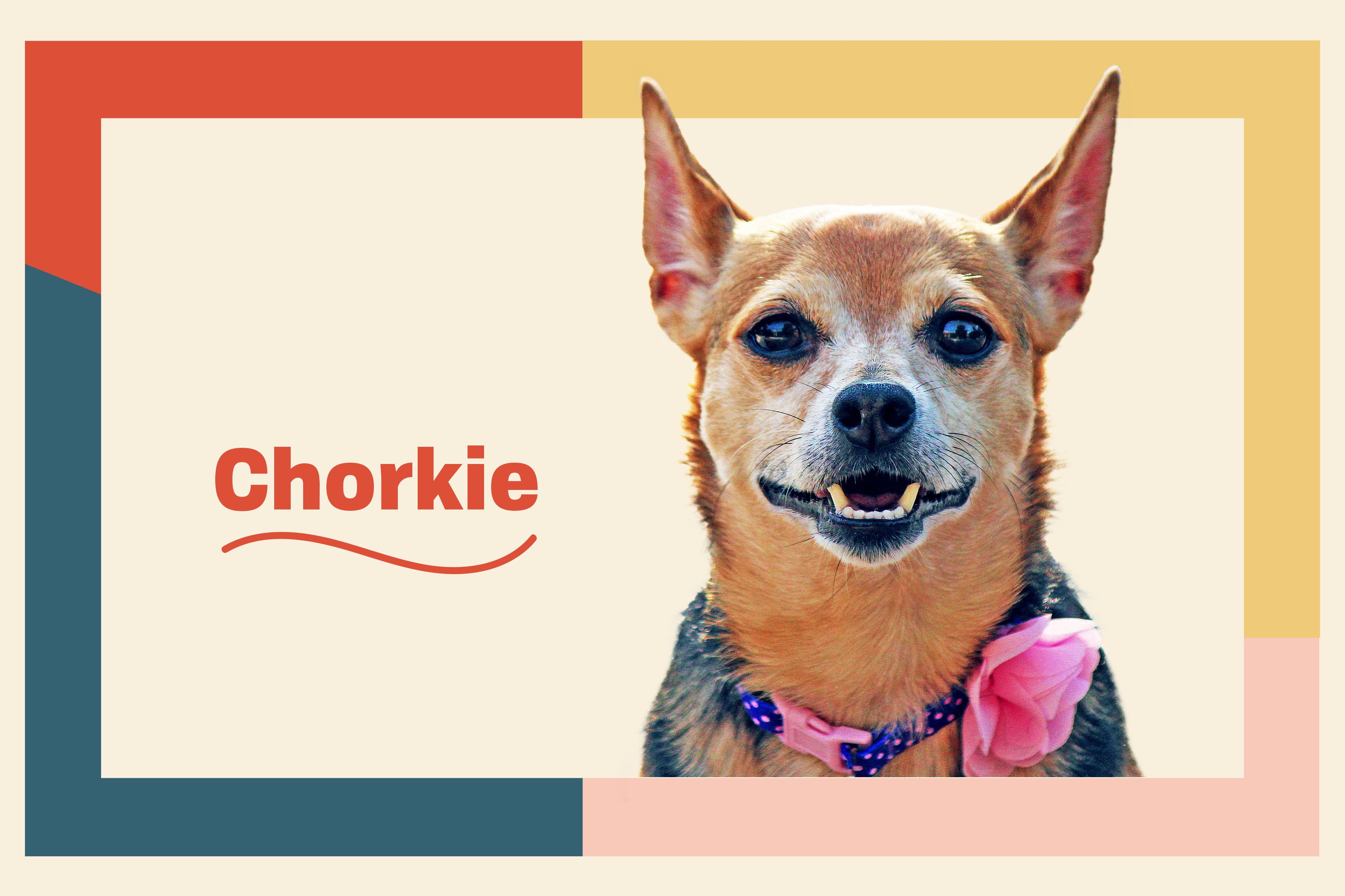 chorkie dog breed profile treatment with dog wearing a pink flower collar