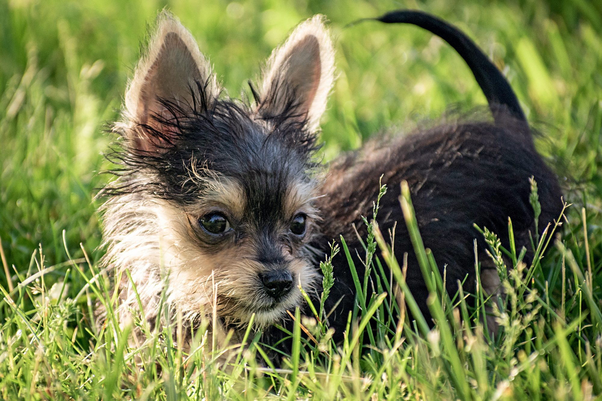 tiny black and tan chorkie lying in grass with its tail up