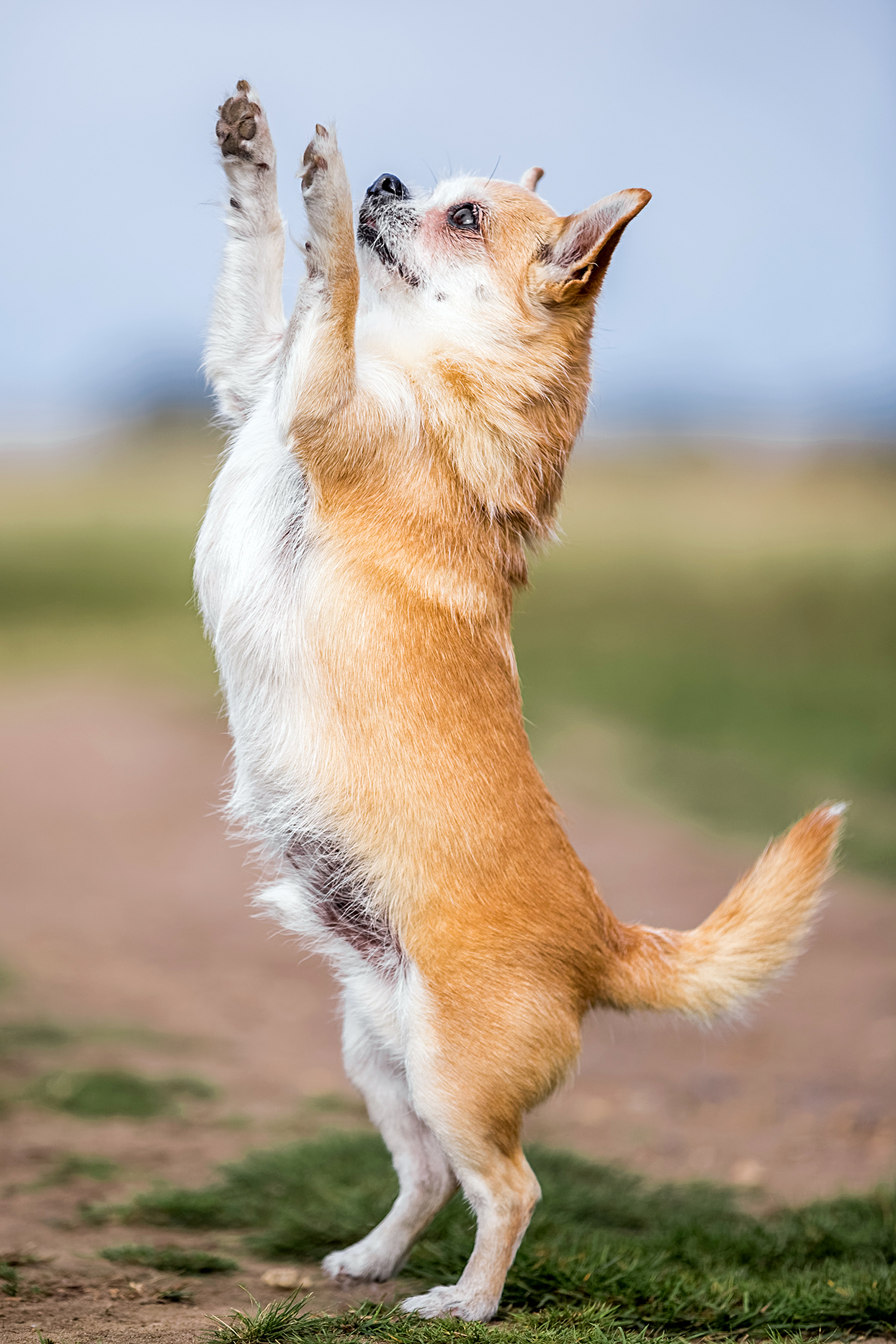 tan chorkie outside standing on their hind legs