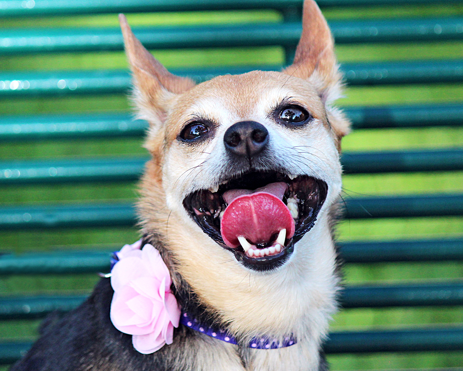 chorkie wearing a pink flower collar smiling at camera with her tongue out