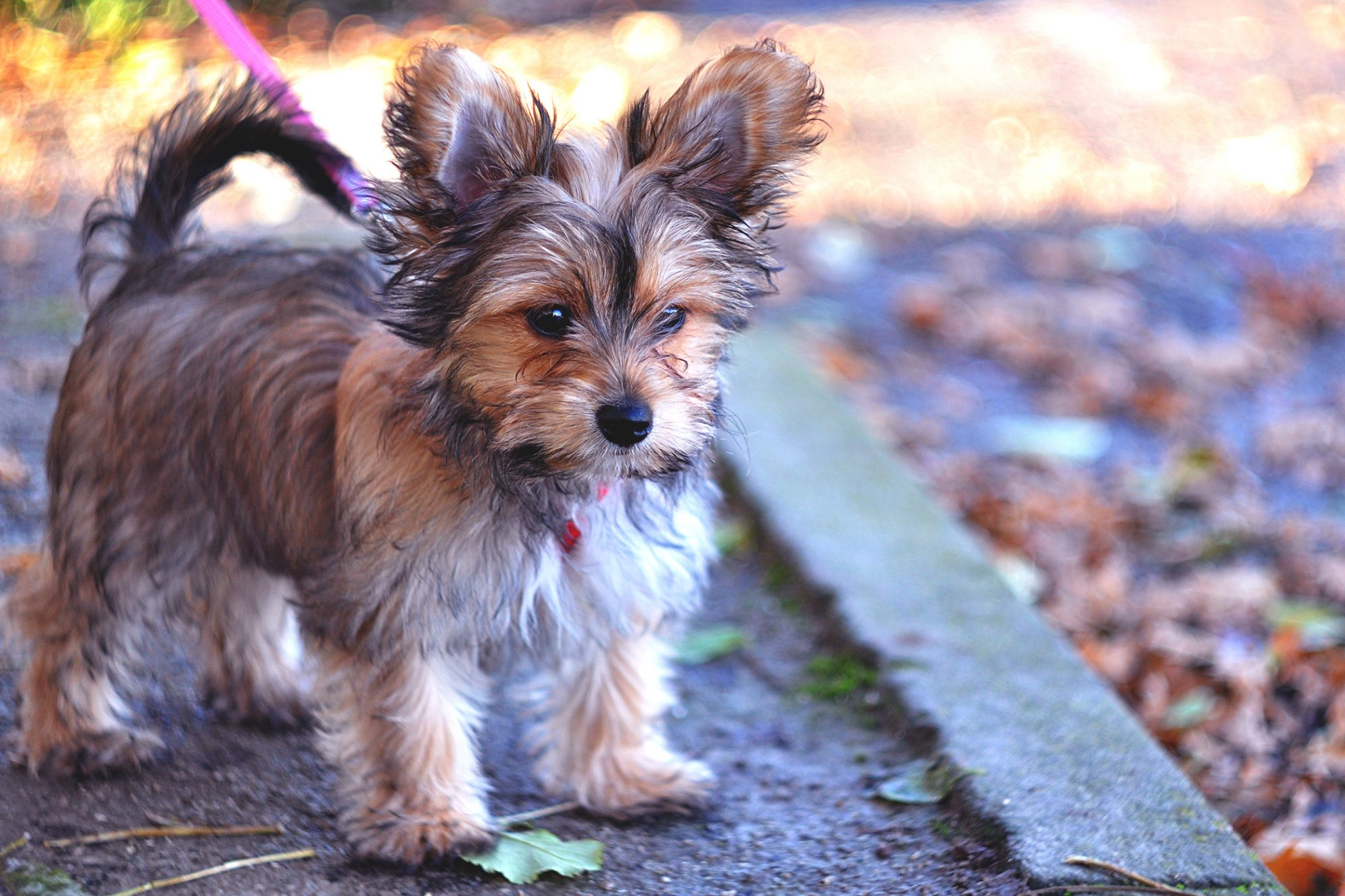 chorkie on pink leash standing on a sidewalk next to fallen leaves