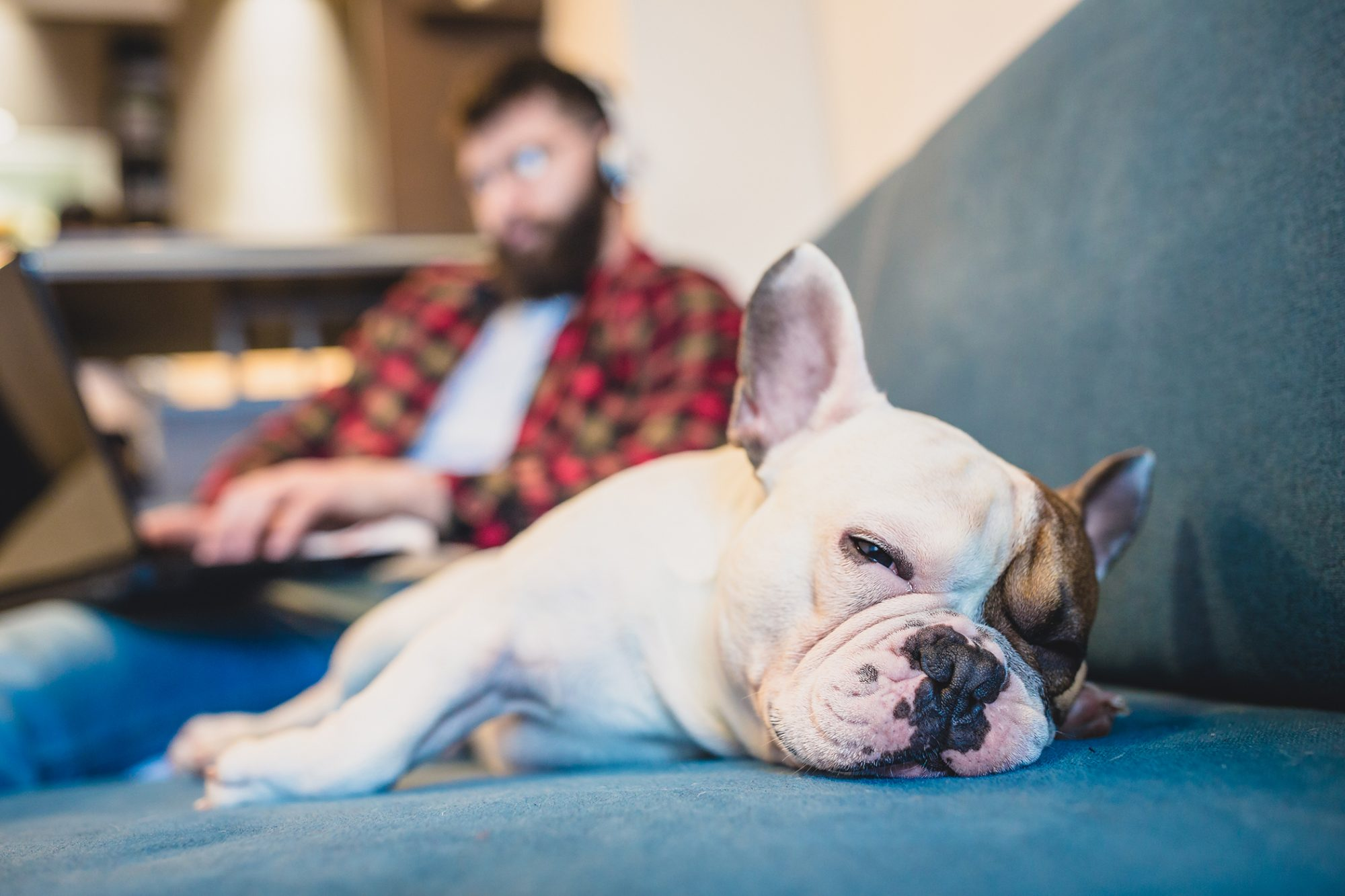french bulldog with a torn acl lying on the couch next to his owner