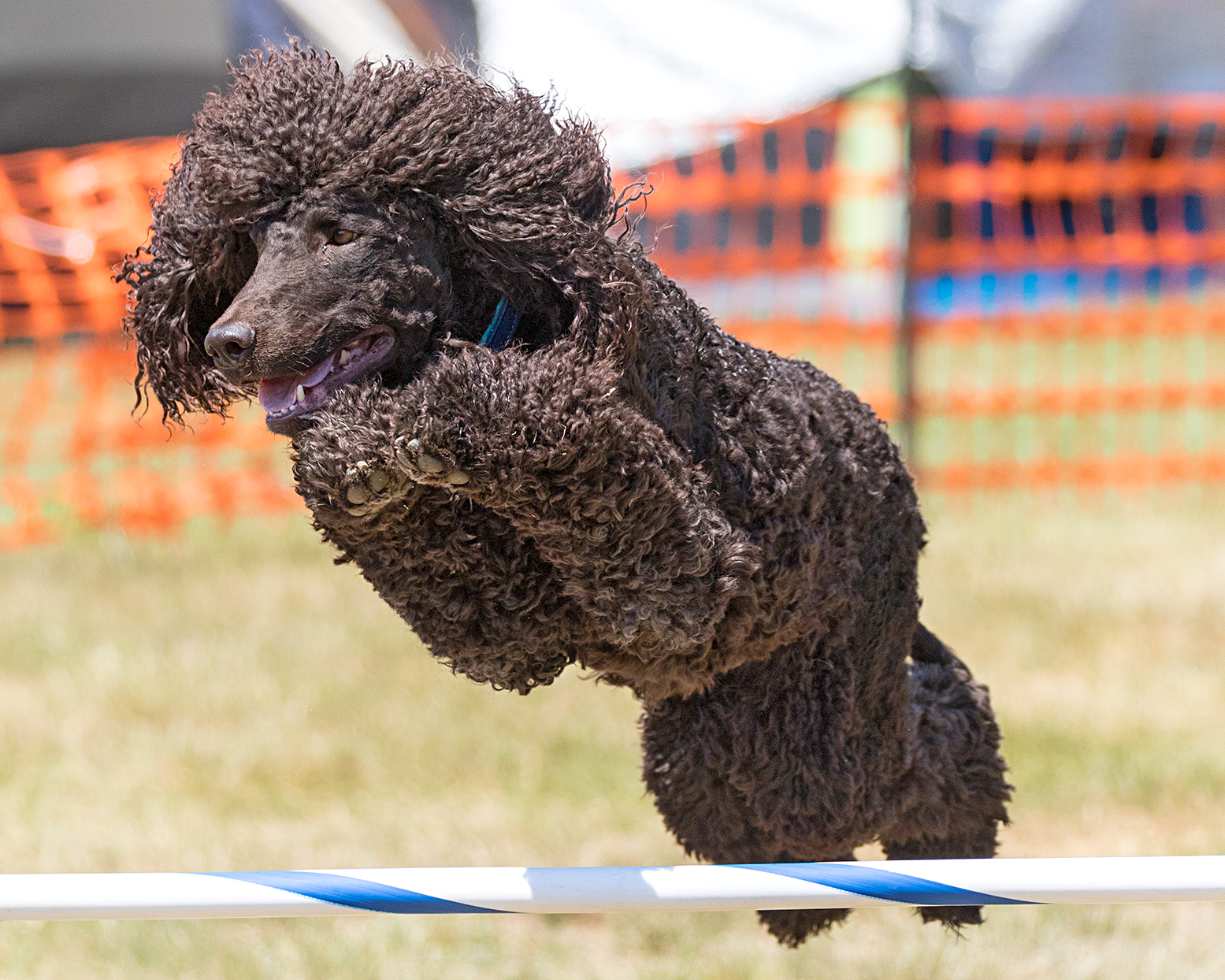 Irish water spaniel jumping over a pole on an agility course