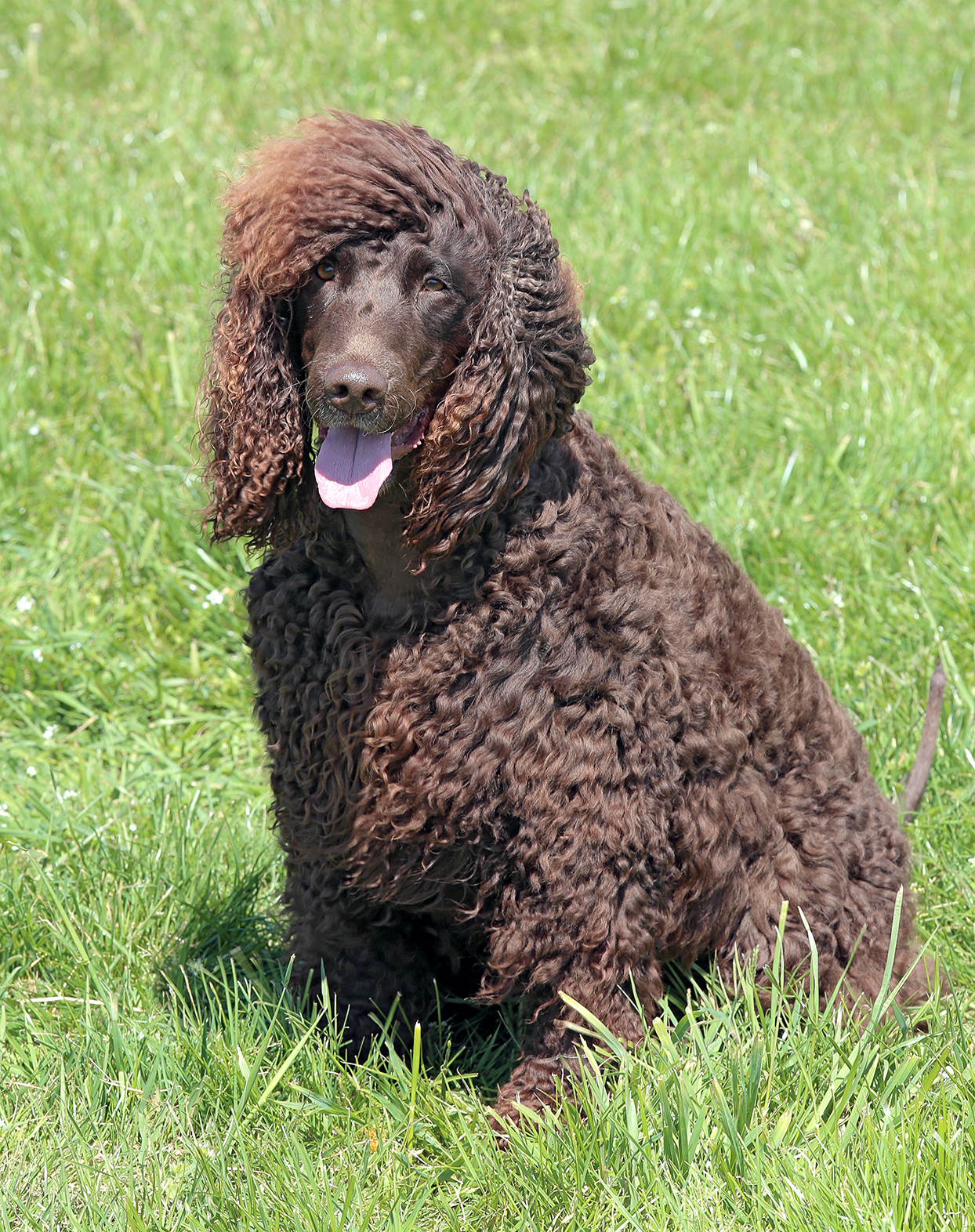Irish water spaniel sitting outside in the grass on a sunny day with his tongue out