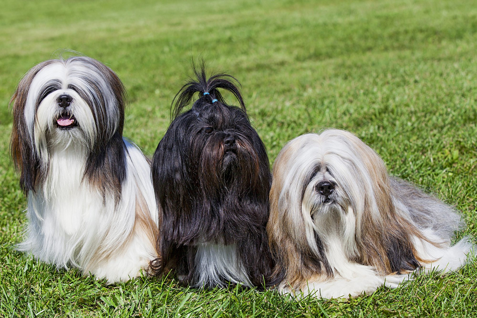 three lhasa apso dogs with long hair sitting outside in the grass
