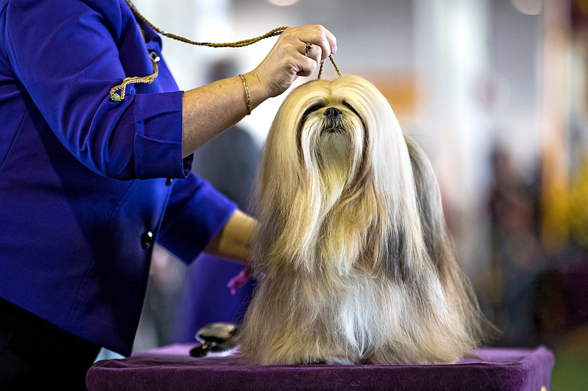 lhasa apso dog breed being judged at the Westminster dog show