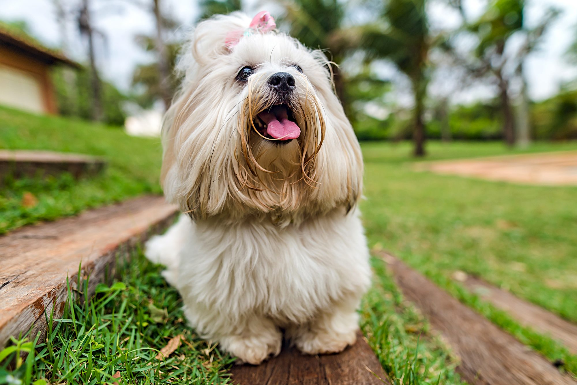 lhasa apso wearing a pink bow with its tongue out