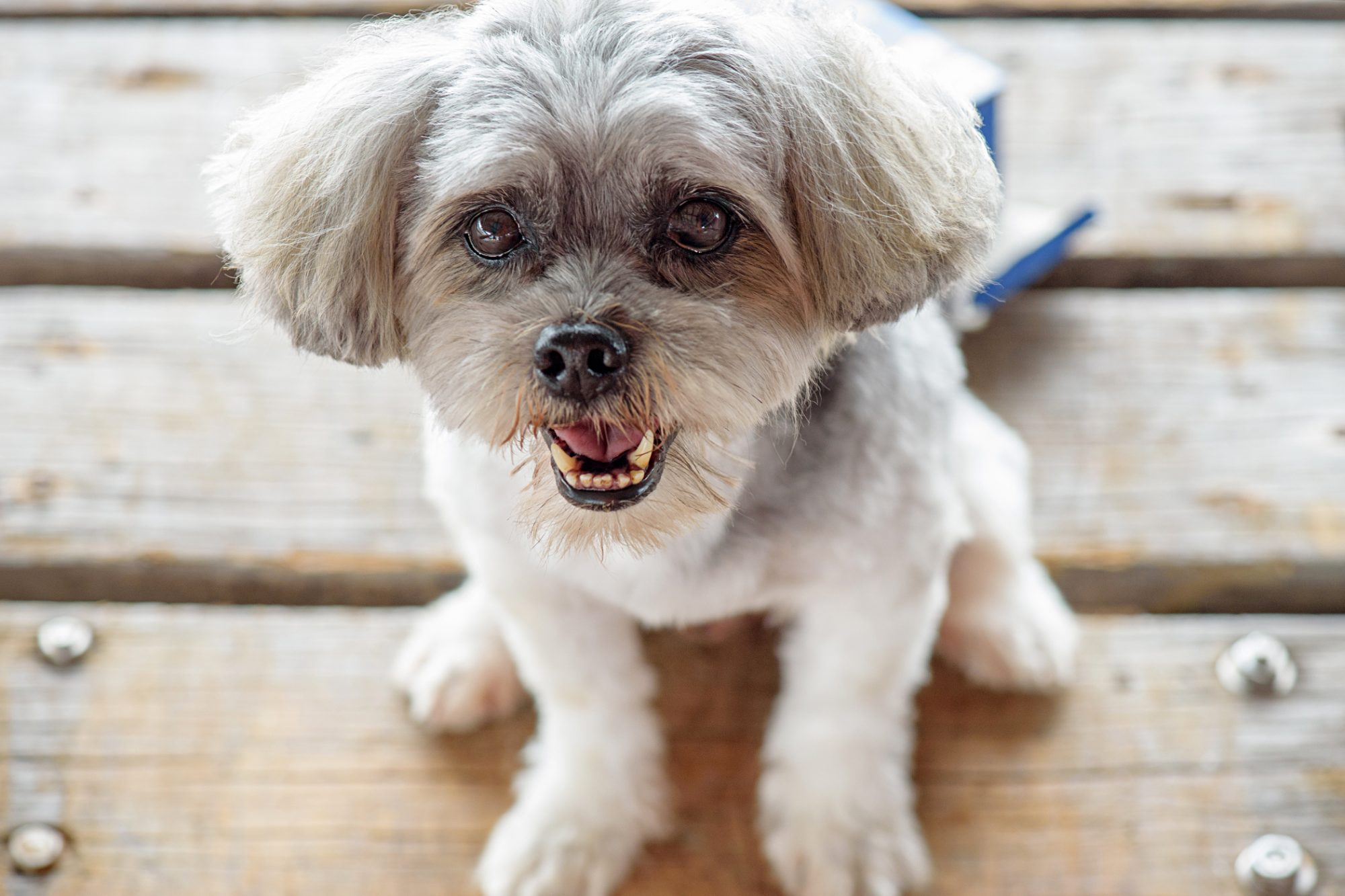 grey lhasa apso with a short haircut sitting on wooden deck