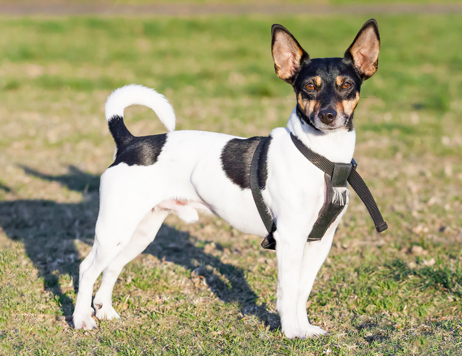 rat terrier wearing a black harness standing on grass on a sunny day