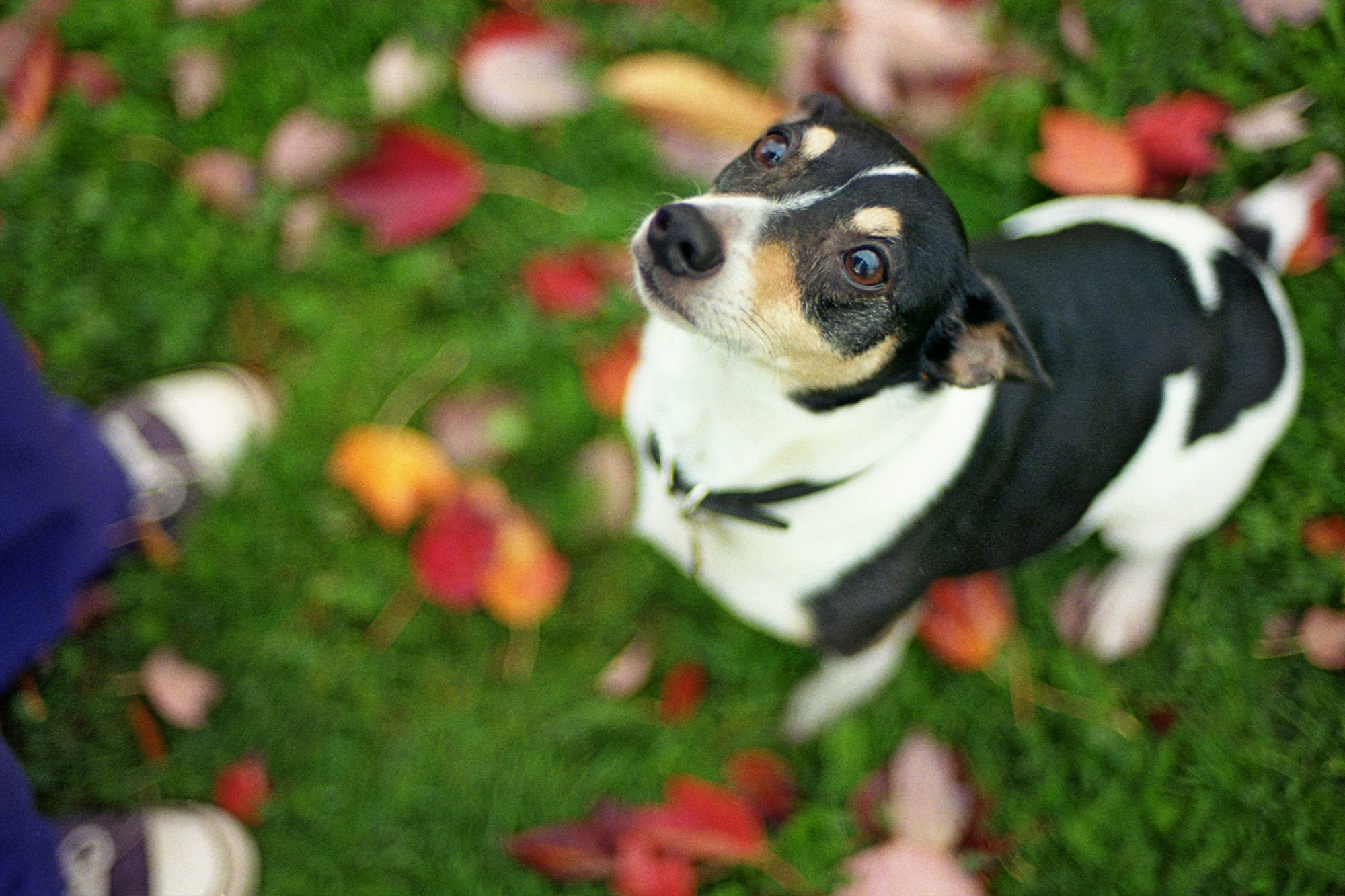 rat terrier looking up at owner standing on fall leaves