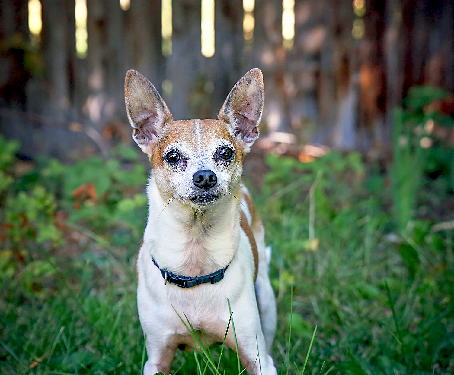 tan and white rat terrier standing in yard in front of wooden fence