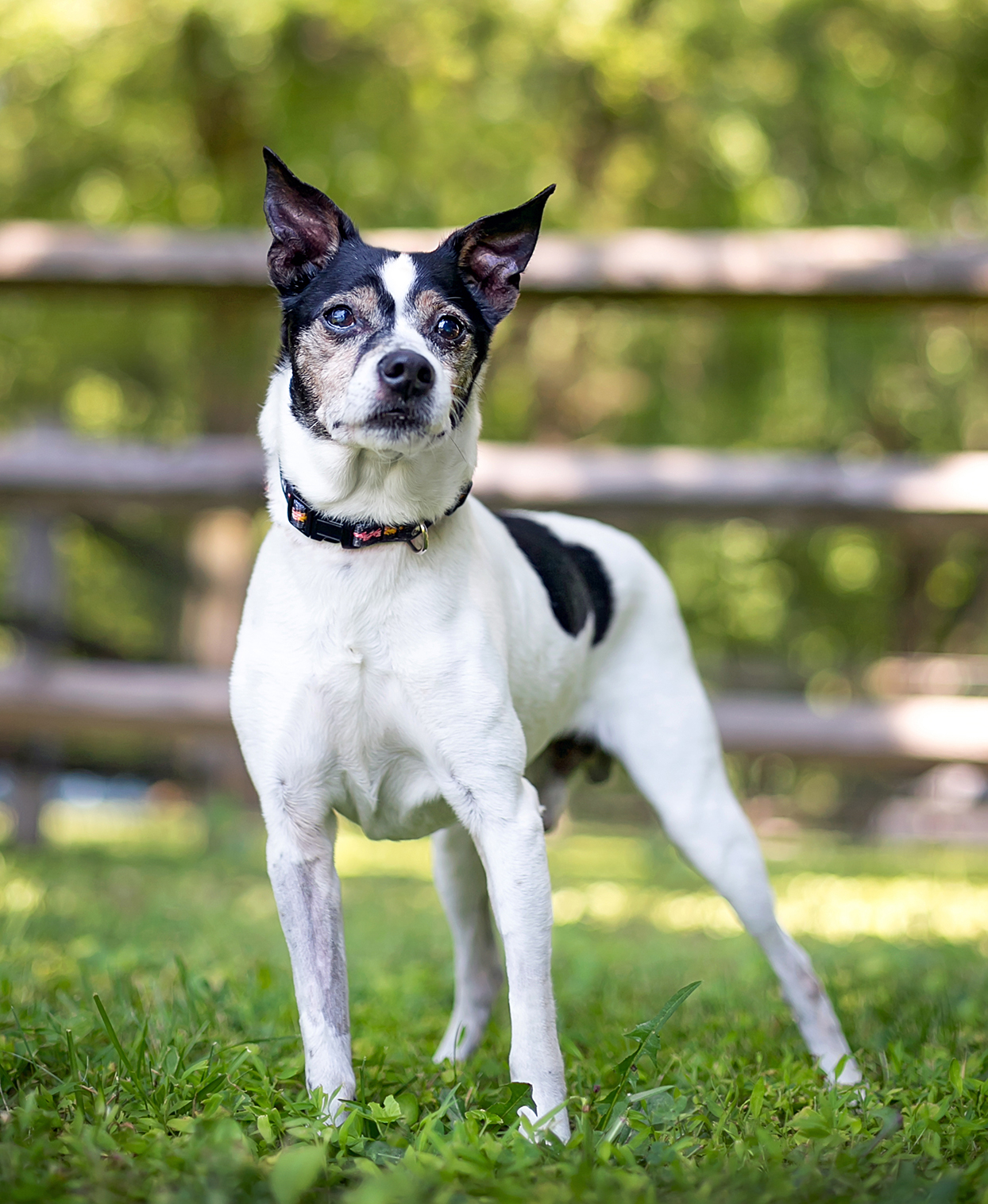 black and white rat terrier standing in grass in front of a horizontal fence