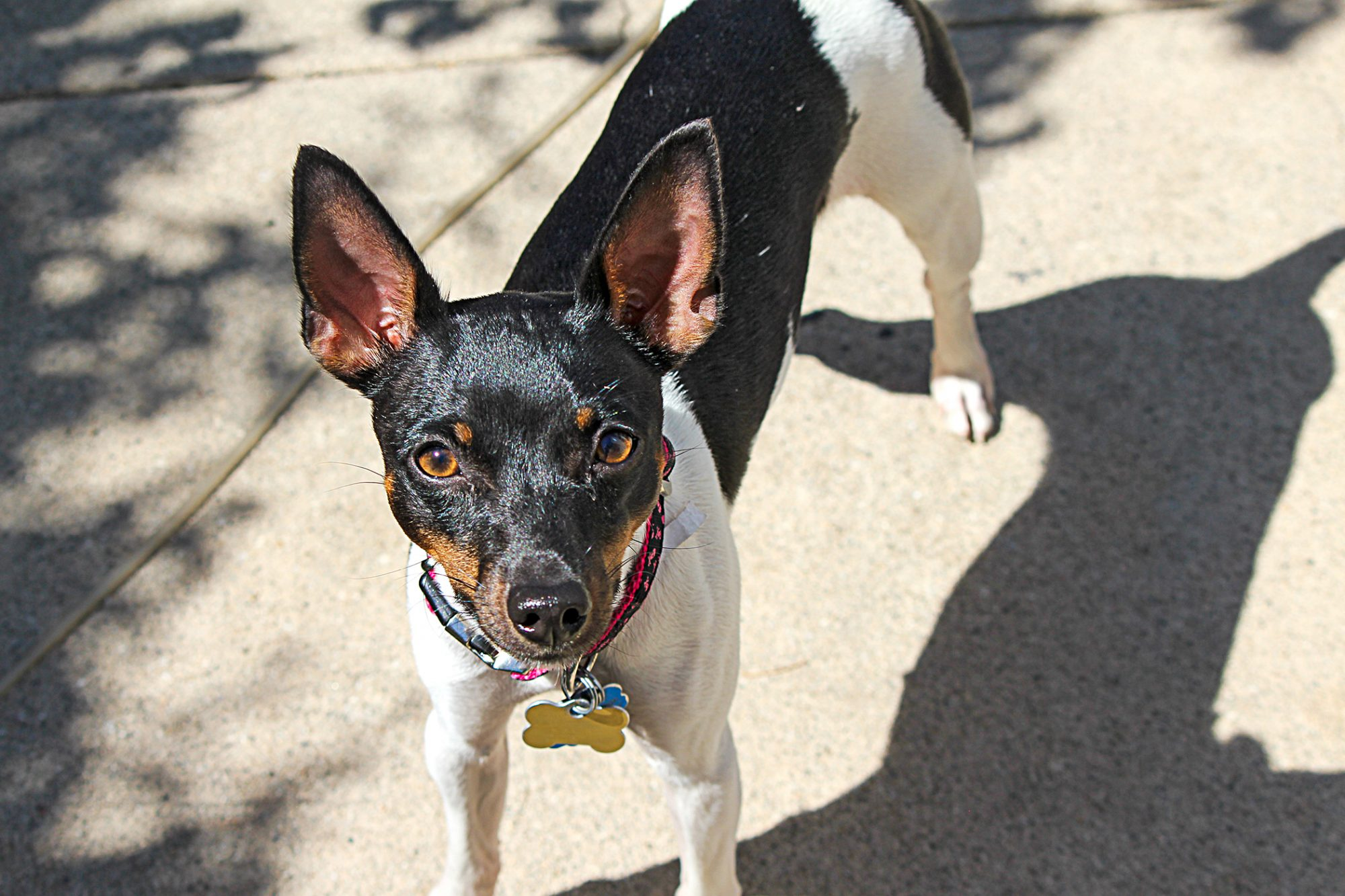 rat terrier standing on a sidewalk looking at the camera