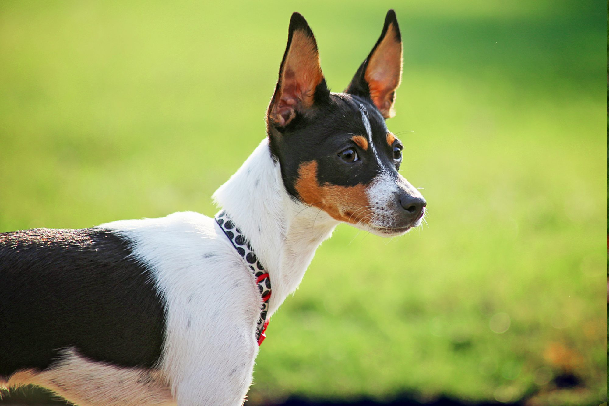 rat terrier wearing a black, white and red spotted collar standing outside in grass