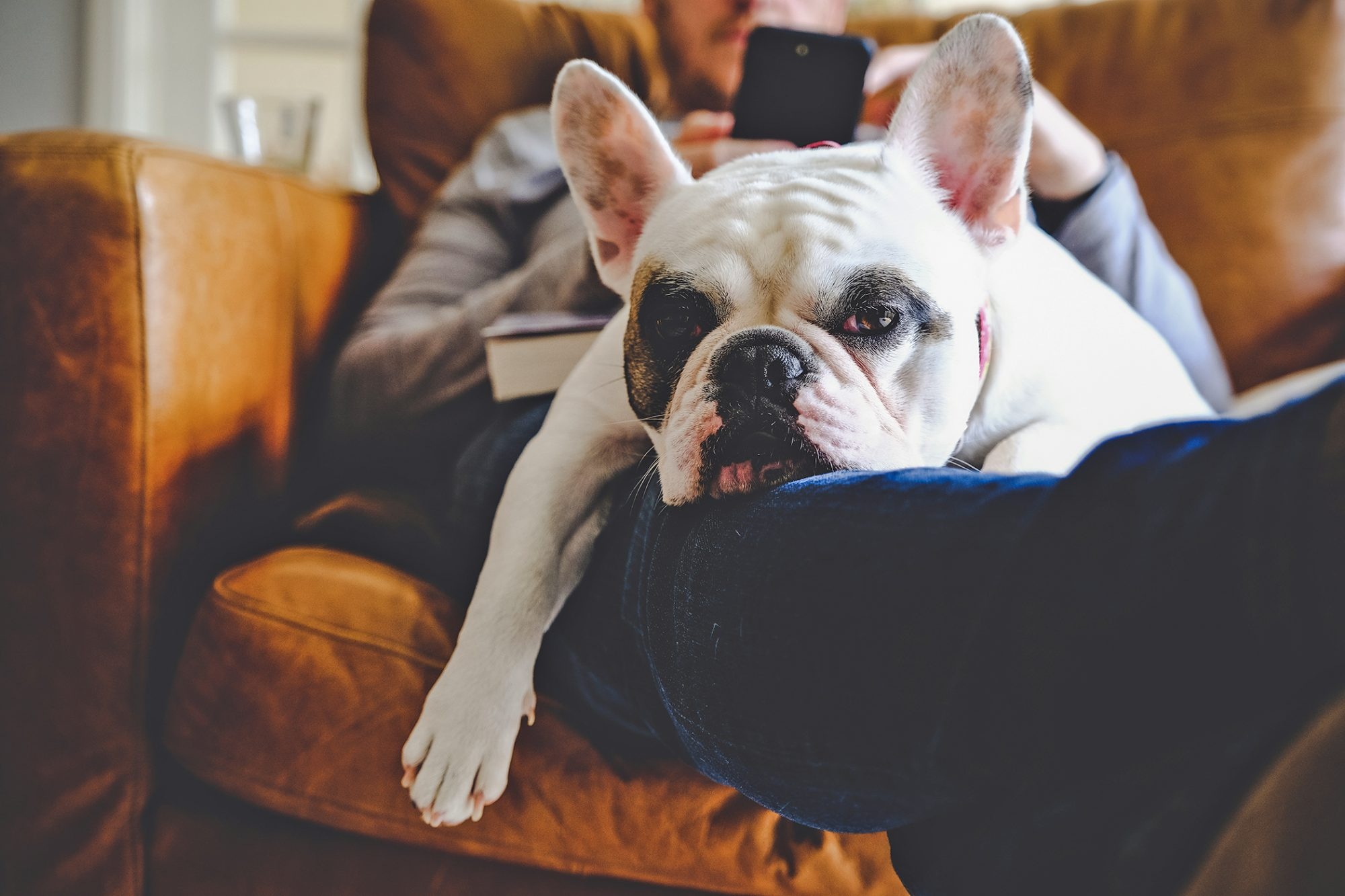 dog laying on man's lap with man searching on smart phone to see if dogs can get herpes