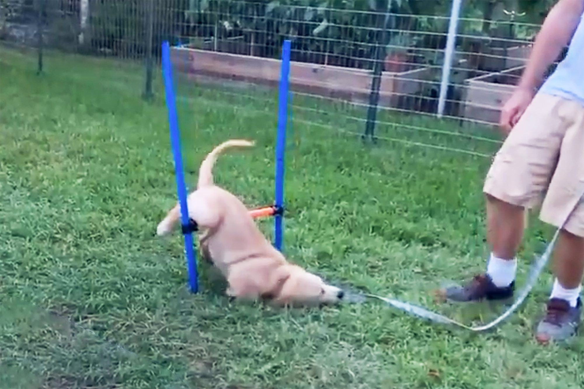 dog fails very hilariously at obstacle course