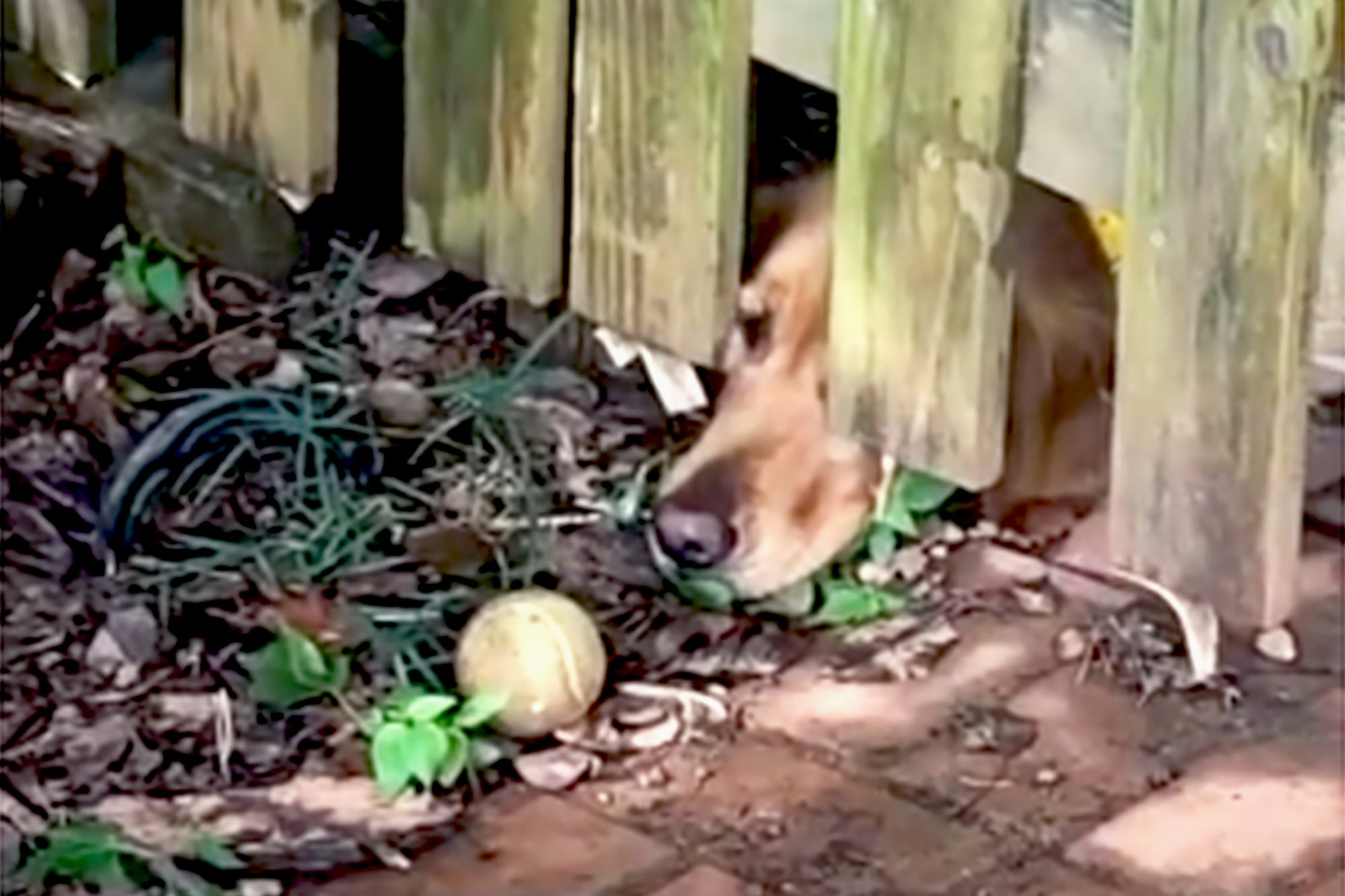 a dog with it's nose sticking out under a fence with a ball