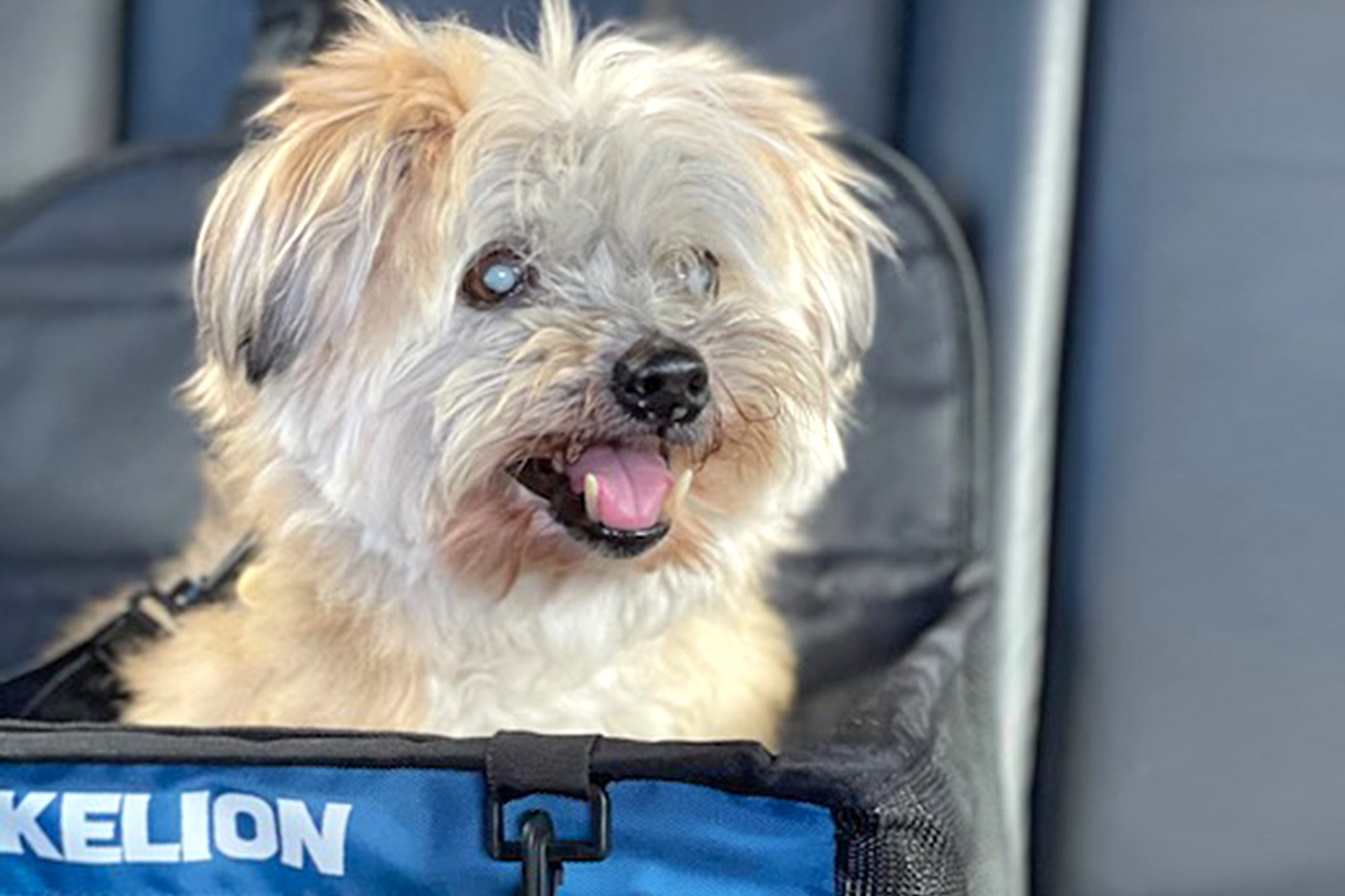 light colored dog in a blue carrier
