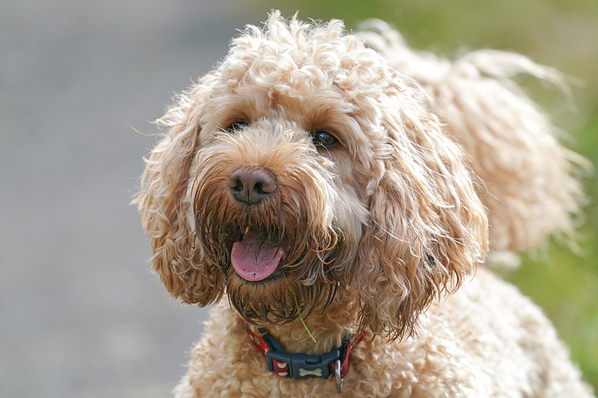 light colored Cockapoo dog with tongue out