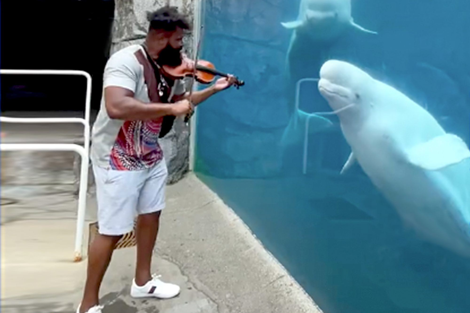 man plays violin in front of two white whales