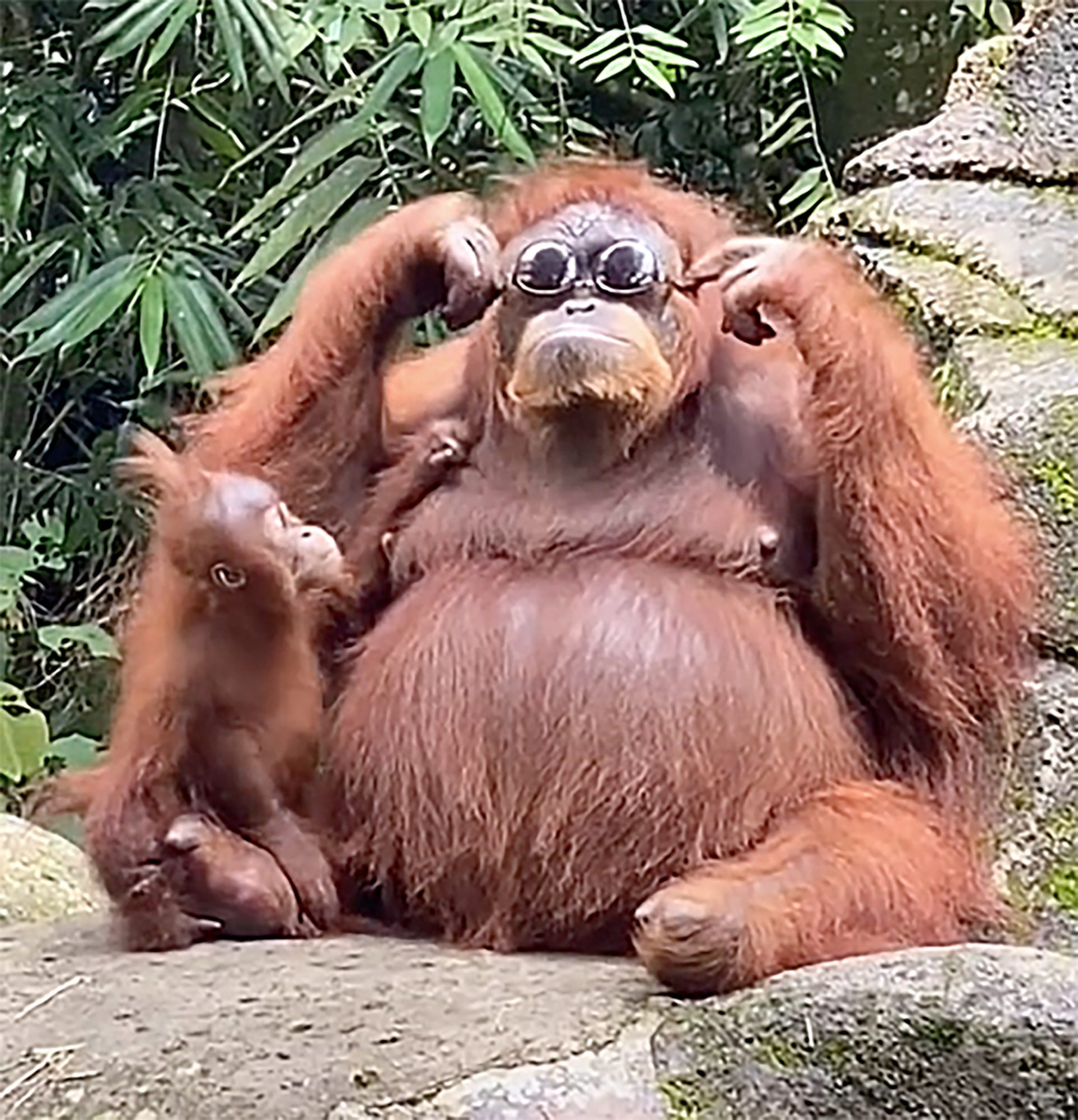 orangutan with her baby trying on sunglasses that were accidentally dropped in her area