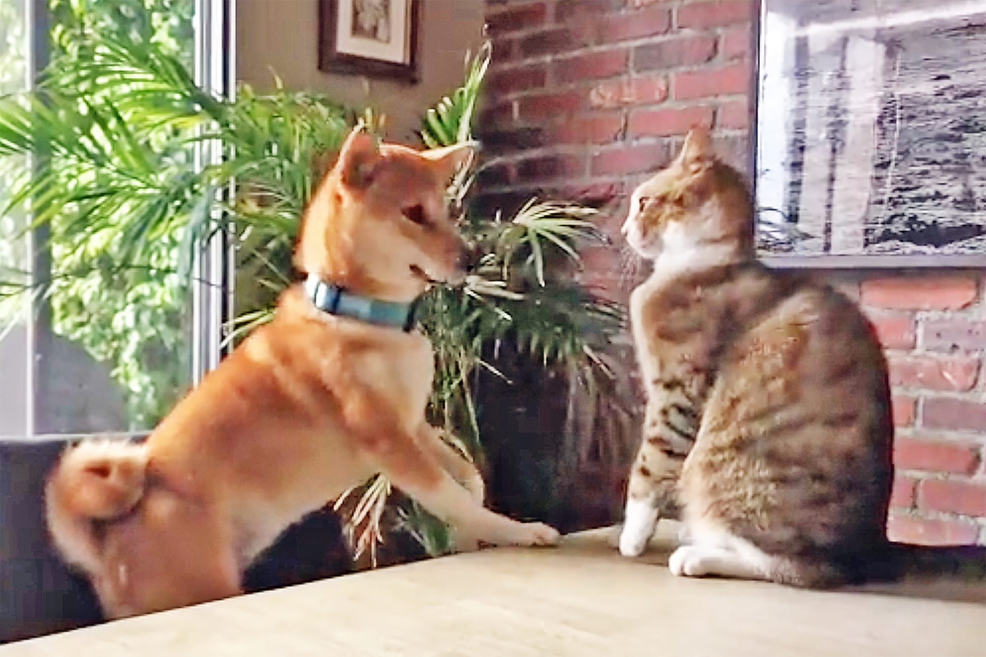 cat pushes dog off table