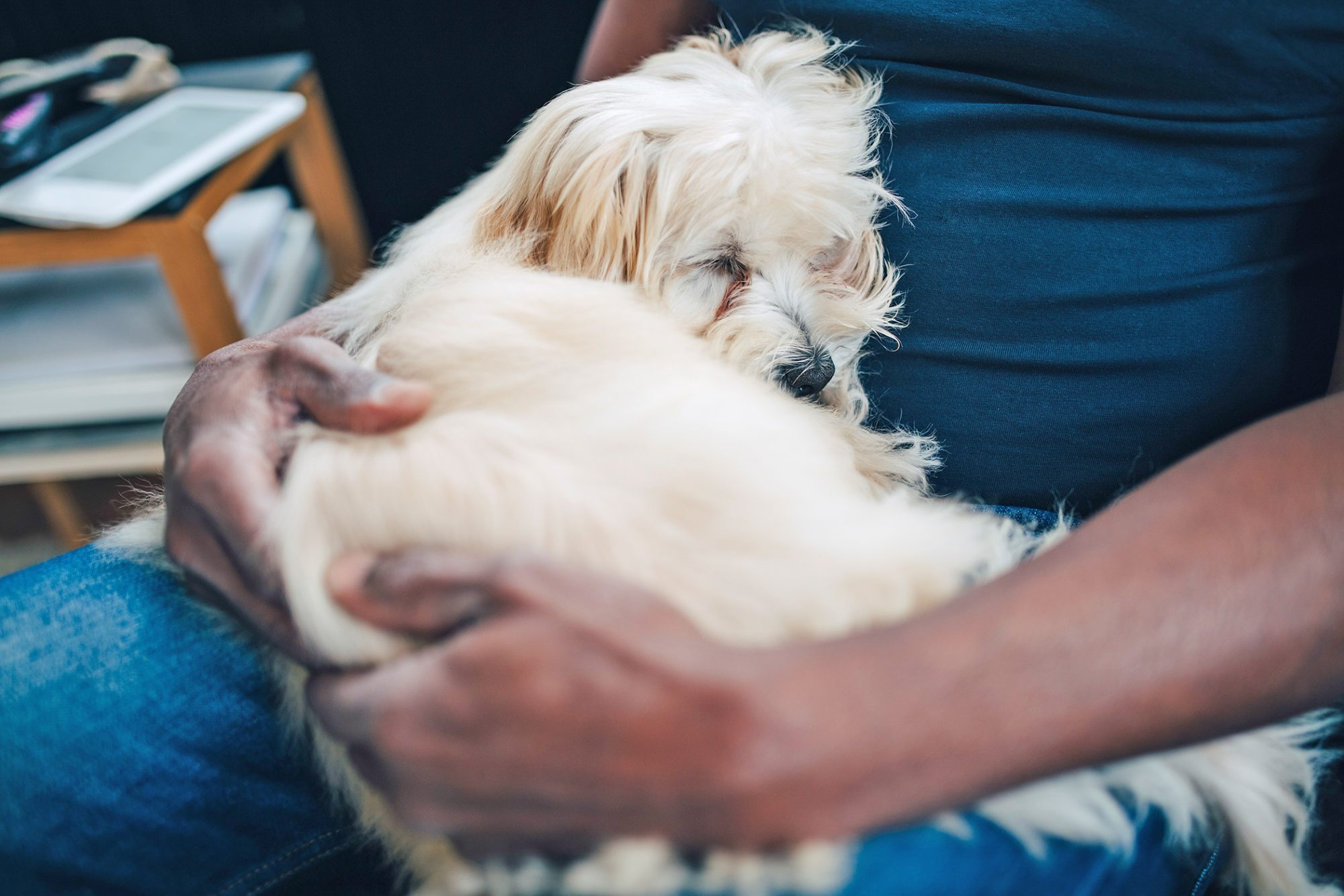 white dog with tear stains lying in owner's lap