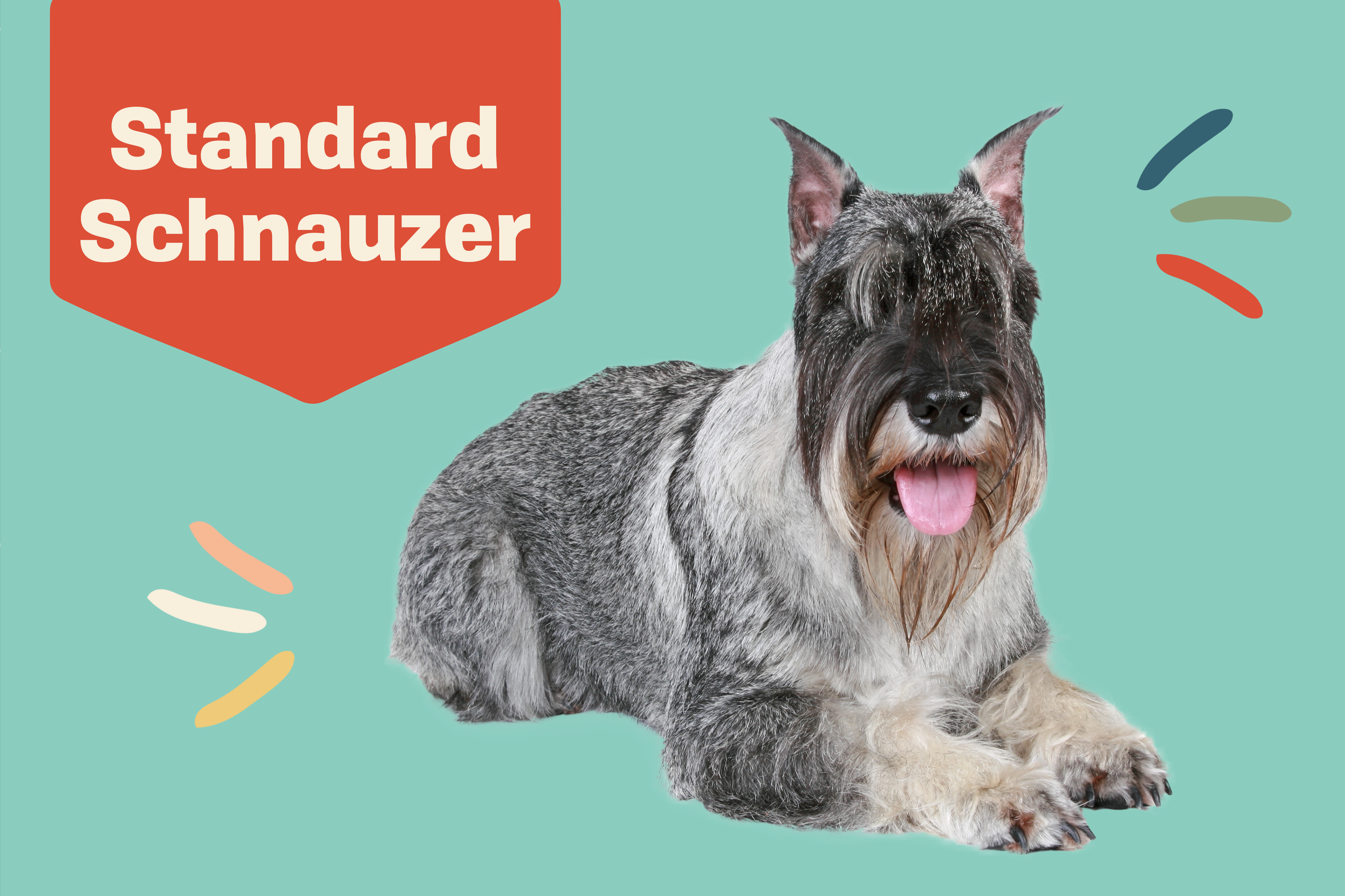 standard schnauzer dog breed proflie treatment with dog on teal background