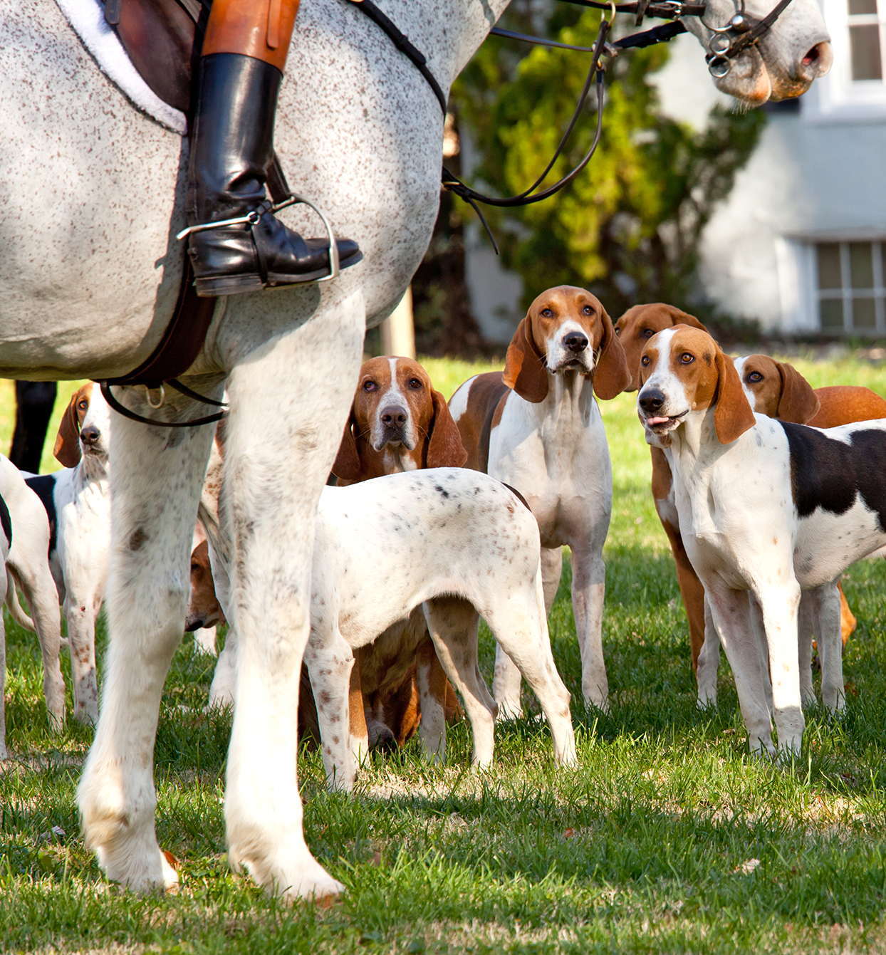 pack of american foxhounds standing outside next to a horse