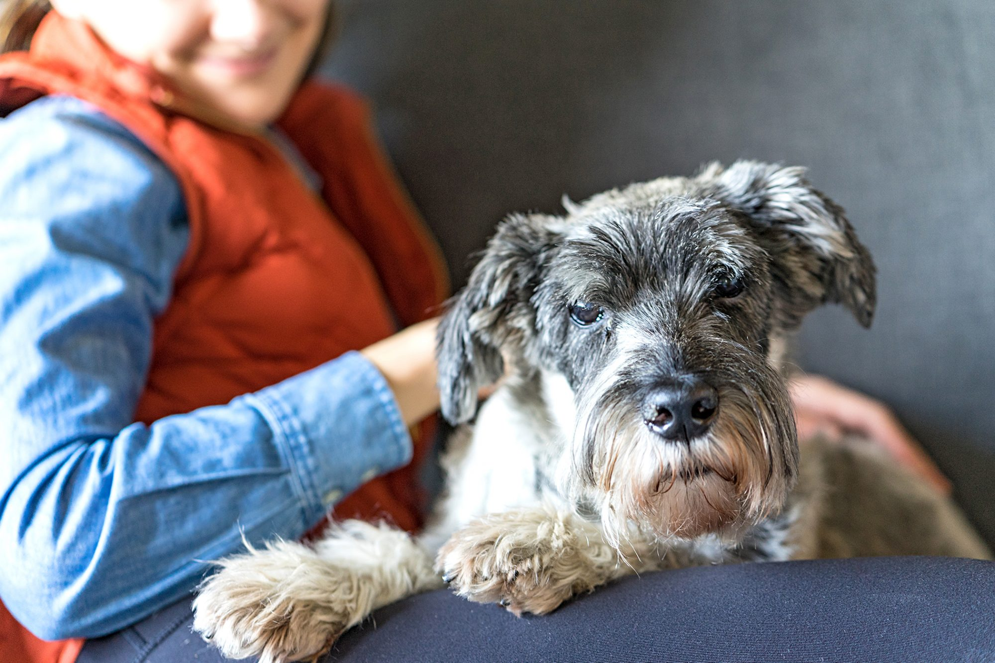 miniature schnauzer sitting in their owners lap looking at the camera