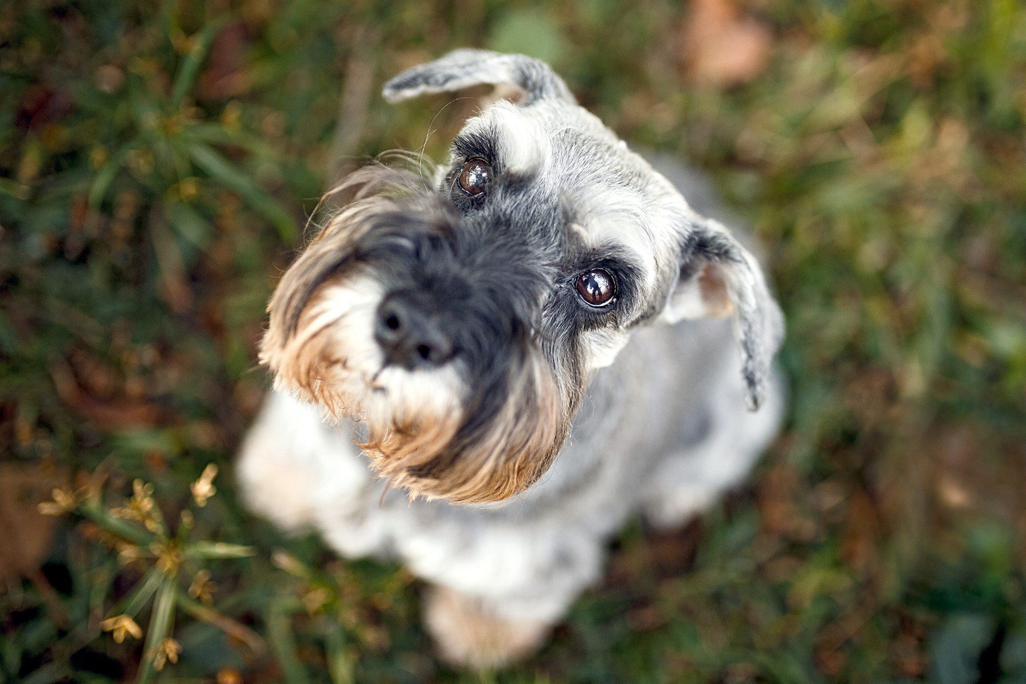 closeup from above of a standard schnauzer sitting in grass looking up