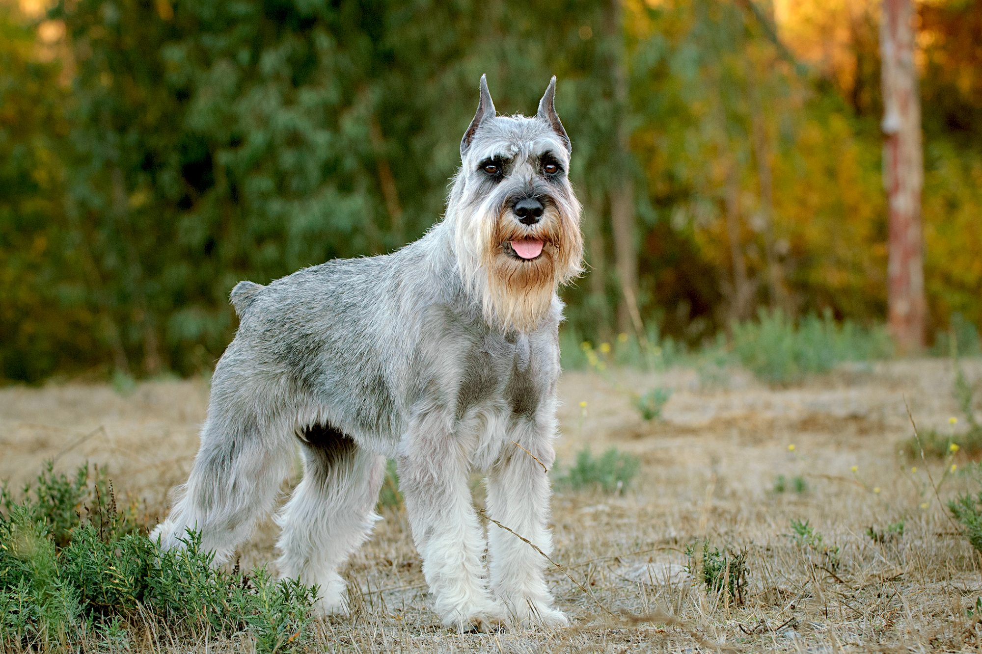 gray, white and tan standard schnauzer standing in field