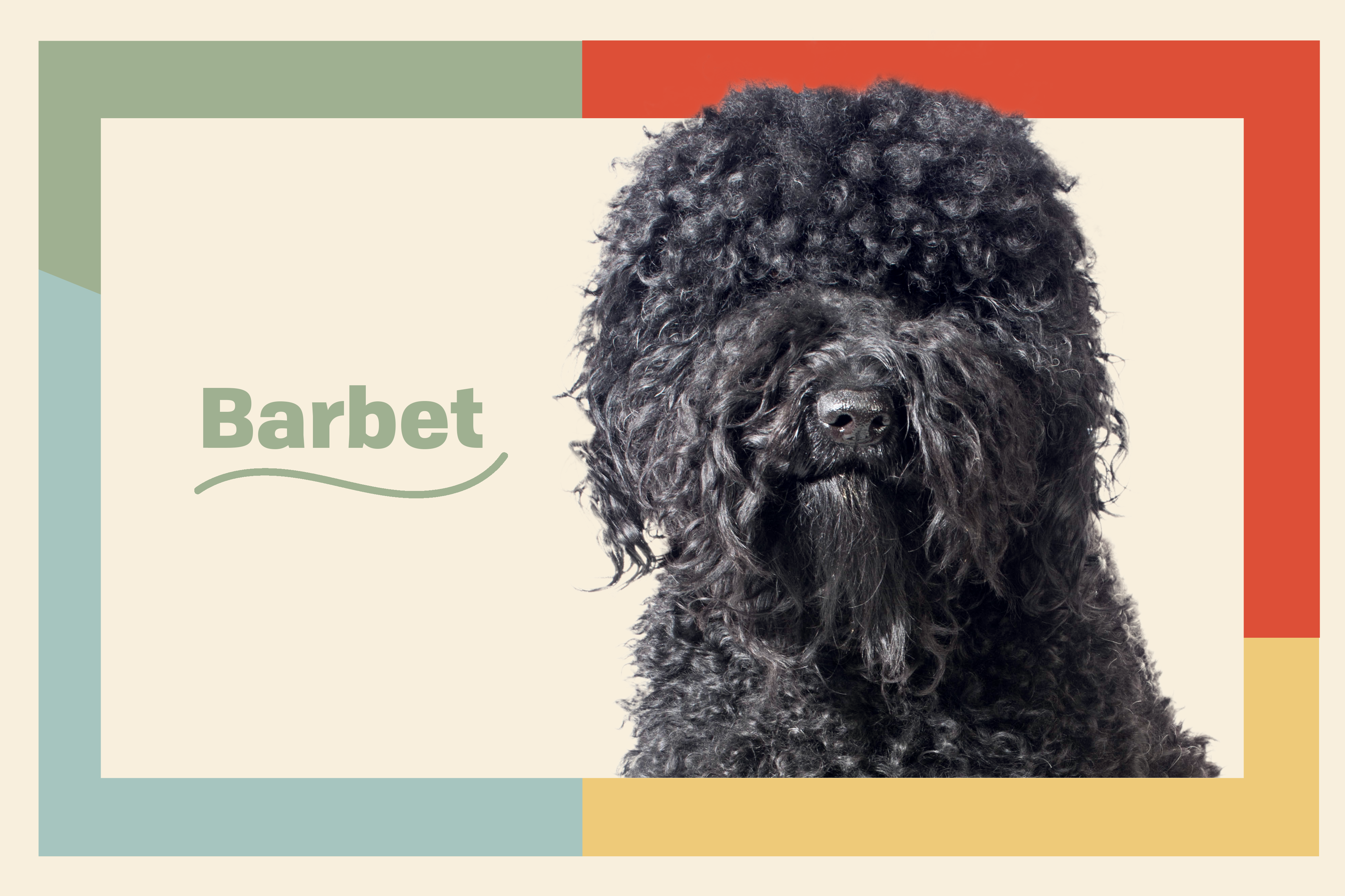 barbet dog breed profile treatment black dog with tan background