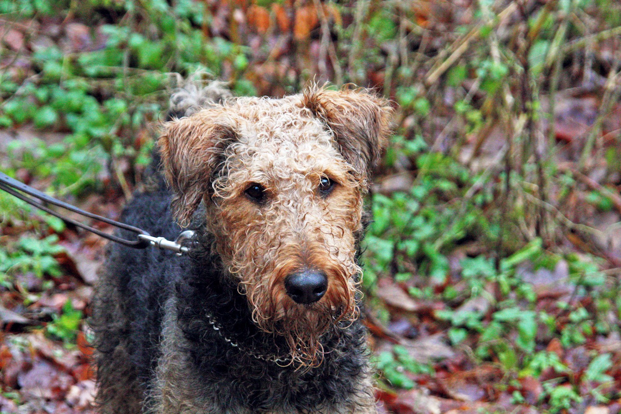 Airedale terrier on a hike in the woods