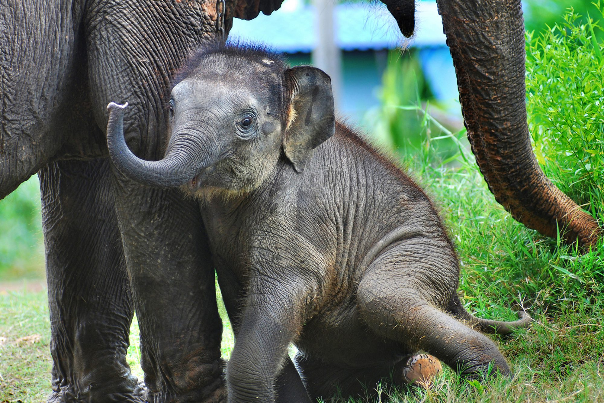 baby elephant with his mother finds his voice