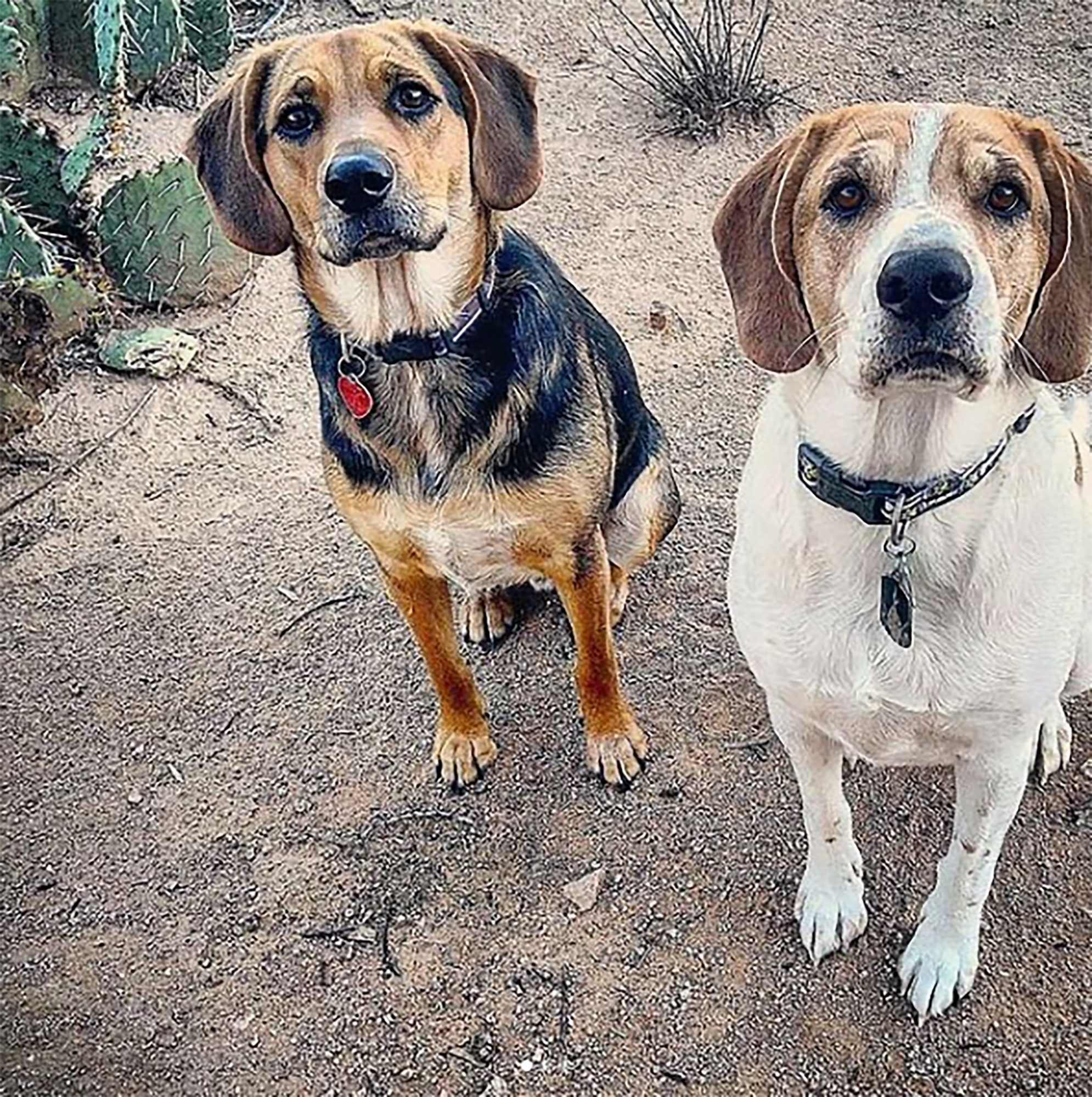 two german shepherd beagle mixes with beagle heads and shepherd bodies sitting outside