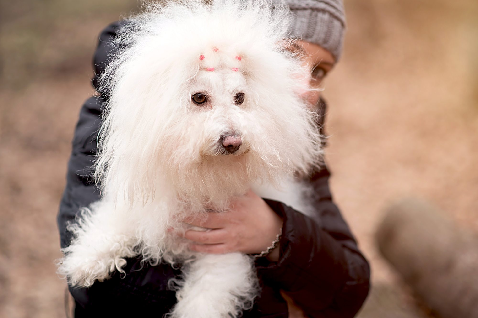 owner holding a fluffy bolognese dog outside in a field