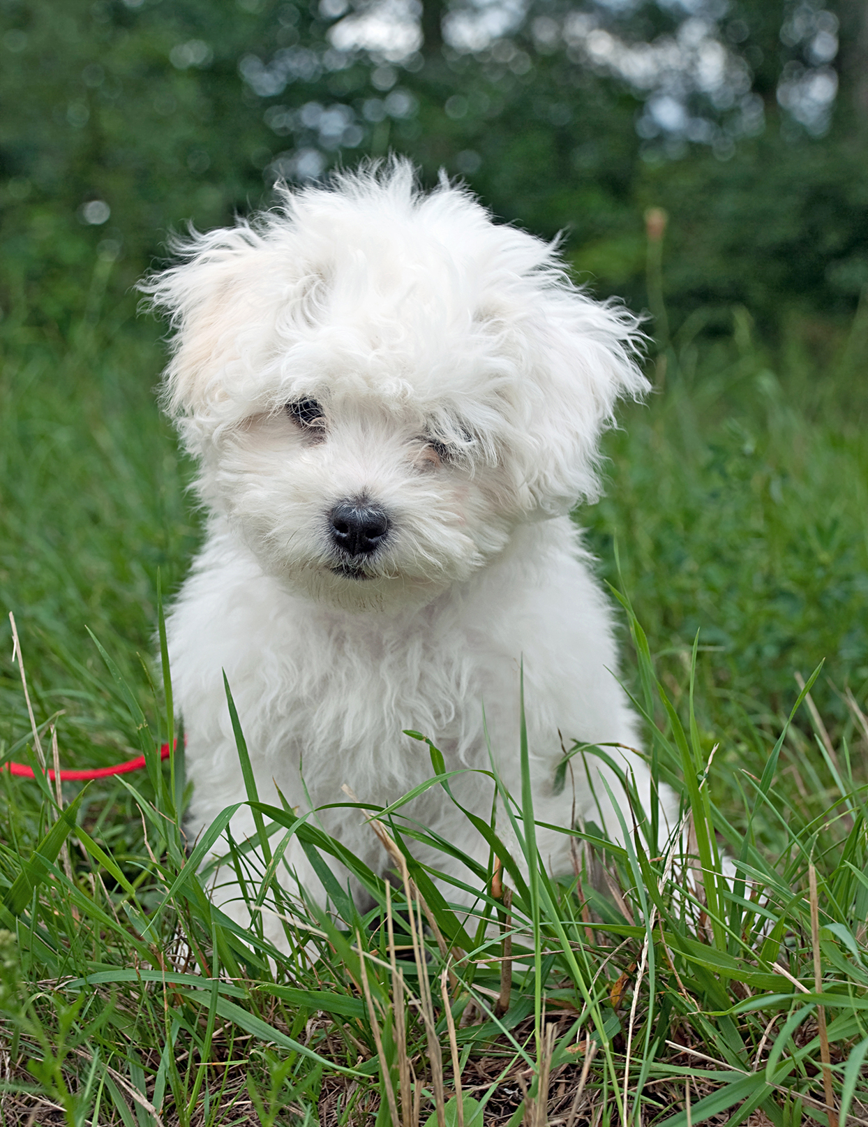 bolognese puppy sitting in grass with a red leash