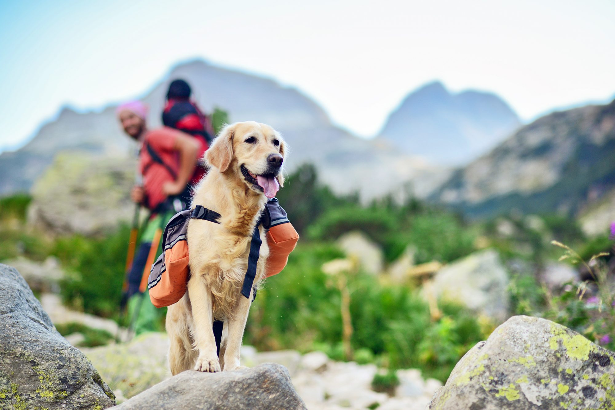 Golden retriever dog on a hike wearing a backpack in a mountain with his owners in the background