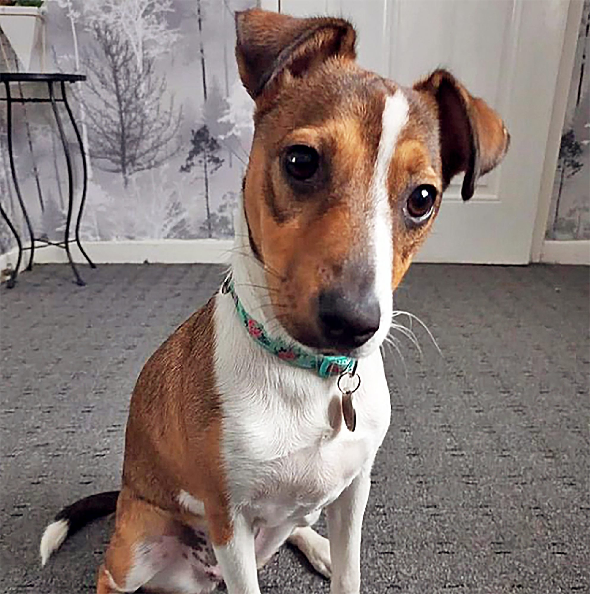 brown and white jackabee with jack russell terrier body