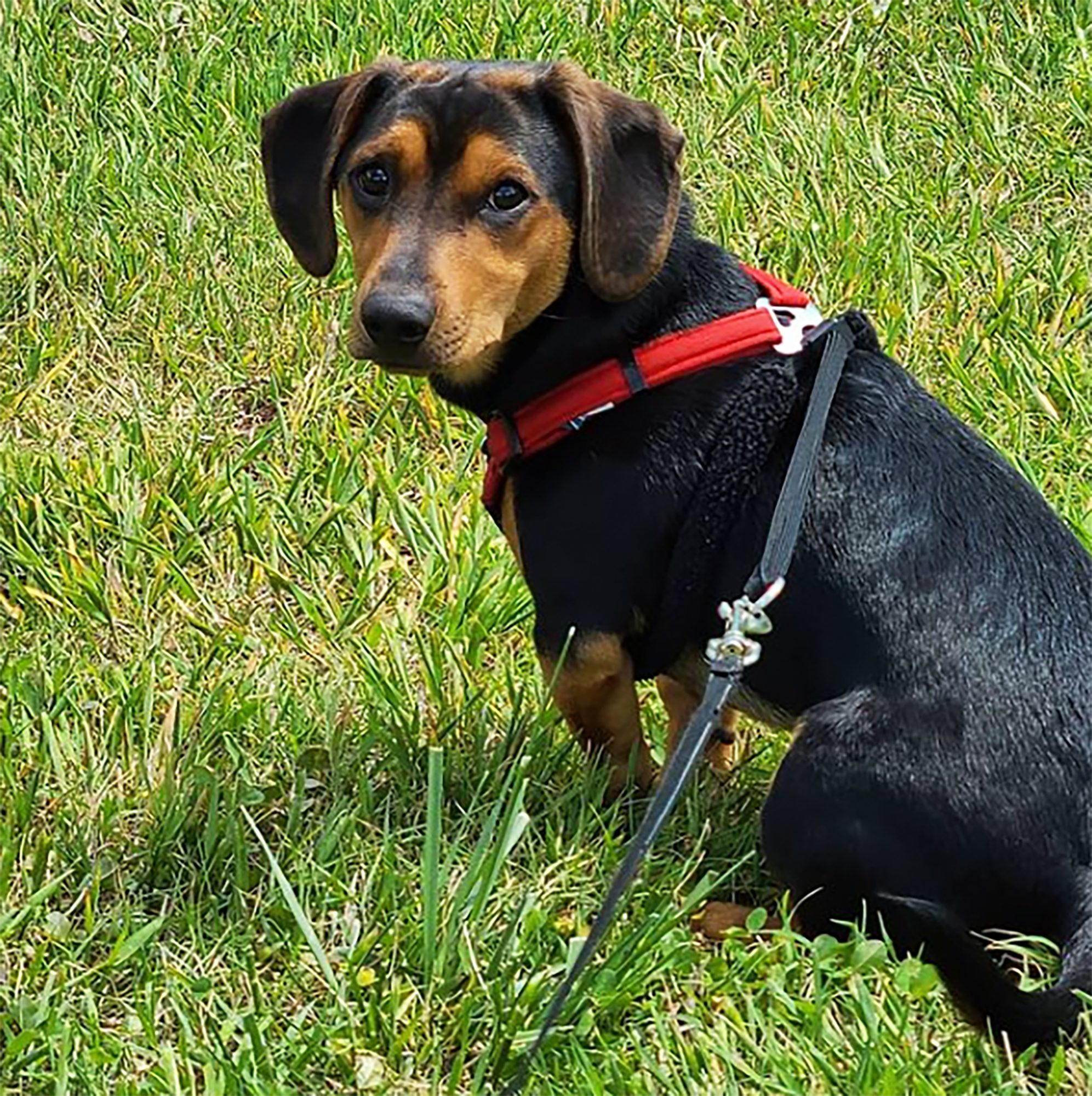 black and tan doxle sitting in the grass wearing a red harness
