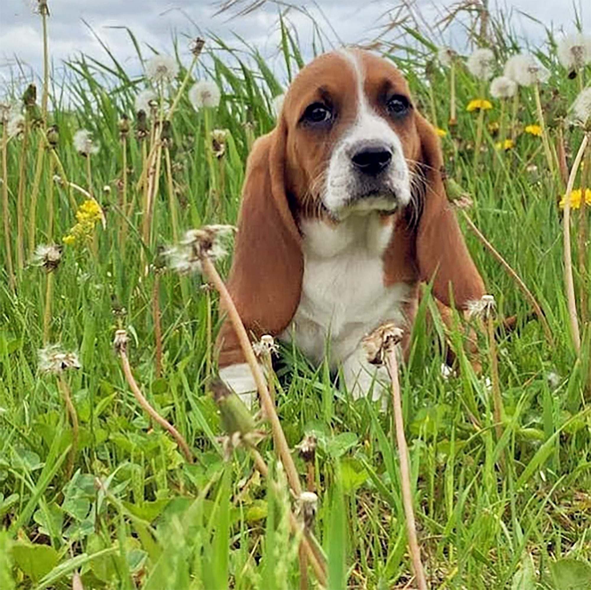 beagle basset hound mix with basset eyes and ears sitting in a field of dandelions