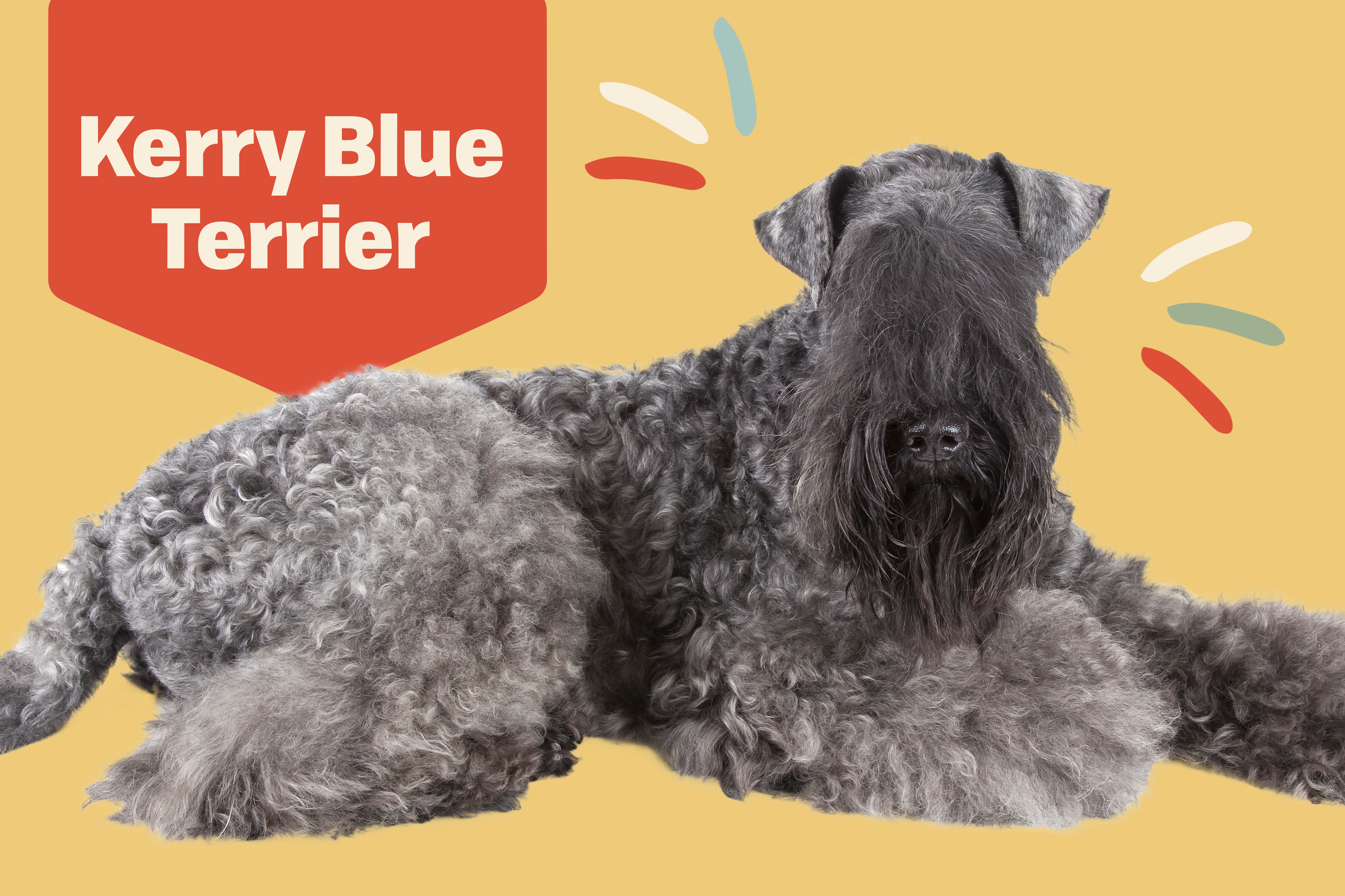 kerry blue terrier dog breed profile treatment on yellow background