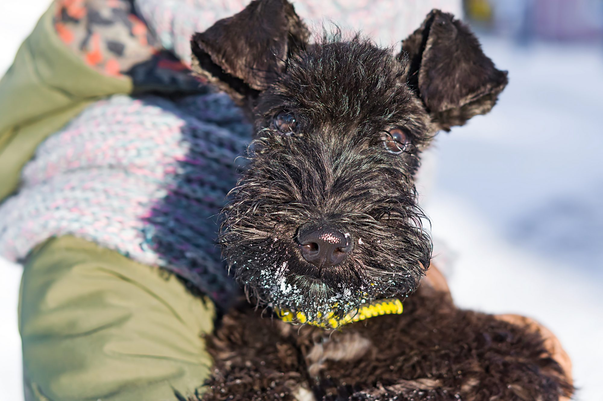 kerry blue terrier wearing a yellow collar with snow on their chin in owner's arms