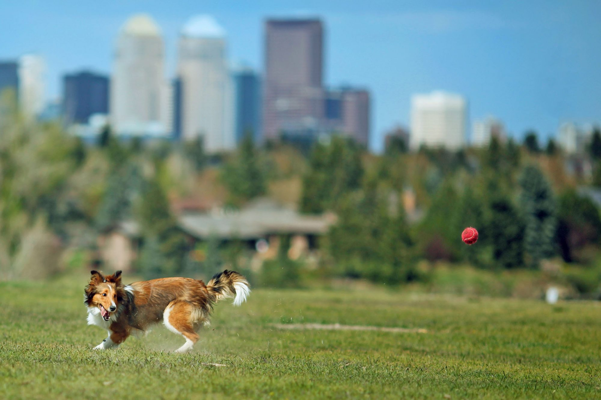 dog playing in dog park with city scape in the distance