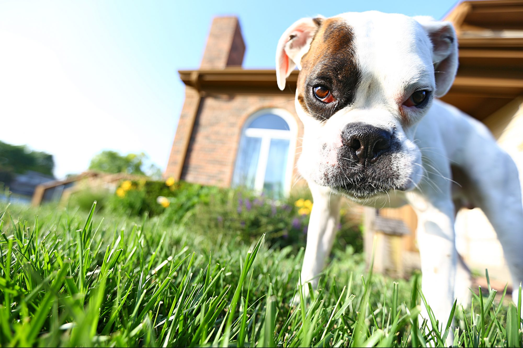 white boxer puppy standing in the yard in front of a brick house