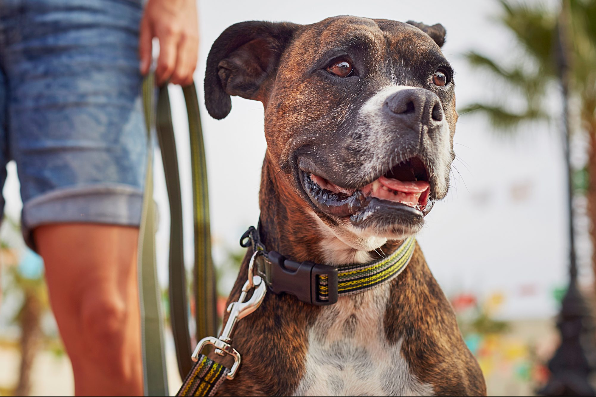 boxer wearing a grey and yellow collar on a leash with their owner in the background